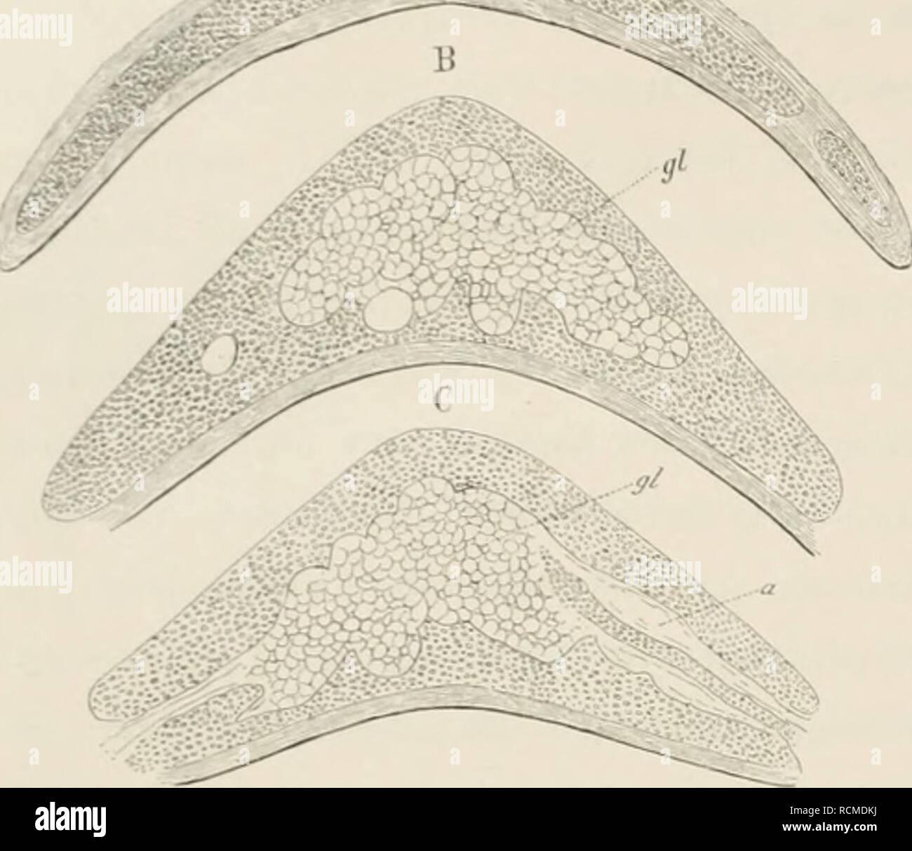. Die Epiglottis; vergleichend-anatomische Studie, mit 2 Tafeln und 15 Abbildungen im Texte. Epiglottis. 40 A. Fig. XU. A li C drei Querschnitte durch den Kpiglottisknorpel von Otolicnus Galap;o. gl Drüsen, a Ausführ^änge. Drüsenbildung nur vereinzelt bestand nnd noeli nielit den Knorpel erreichte. Tiefer ab- wärts war liin und wieder eine einzelne Drüse in den Knorpel eingedrungen. Bei Otolicnus waren dann an der mit einem medianen Vor- sprunge versehenen und dadurch an das Ver- halten von Echidna erinnernden Strecke des Knorpels grössere Drüsenmassen aus (jiruj)pen von Schläuchen bestehend i Stock Photo