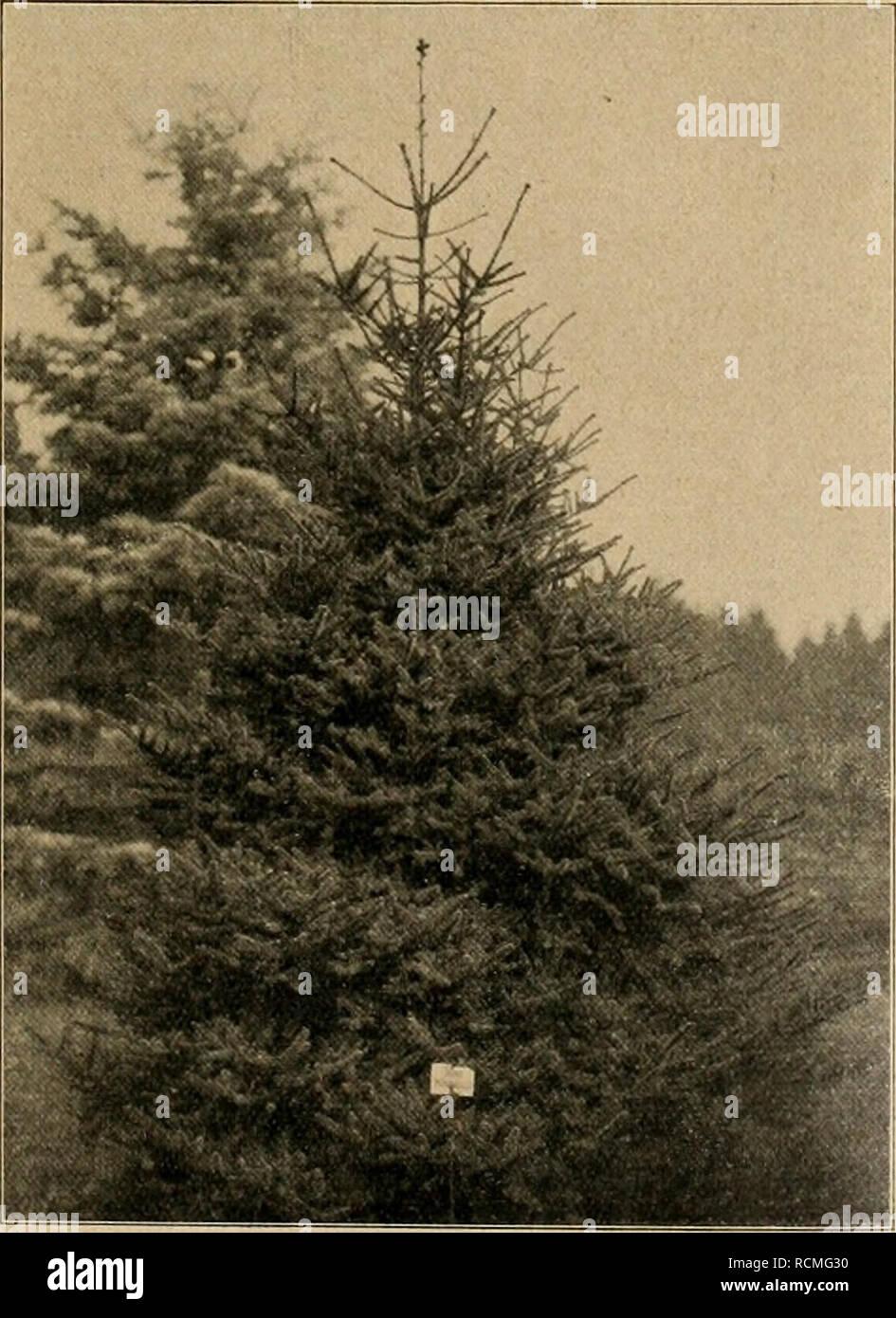 . Die Gartenwelt. Gardening. XVIII, 27 Die Gart nwelt. 363 Norden, südlich längs des Kaskadengebirges im Washington- territorium und in Oregon heimisch. Von Douglas im Jahre 1825 auf dem Silberberg in der Nähe des Fort Hope am Fraser- fluß entdeckt und 1831 in Europa eingeführt. Eine seltene Abies, die häufig mit Abies magnifica Murr, verwechselt wird. Der Baum wird in der Heimat 50—60 m hoch, bei 1,30 m Stammdurchmesser. Gleich vom Boden aus beästet (vergl. die auf der Abbildung der Titelseite erkenntliche Schleppe) bildet diese Abies einen ebenmäßig gebauten Kegel mit üppiger, dunkelgrüner B - Stock Image