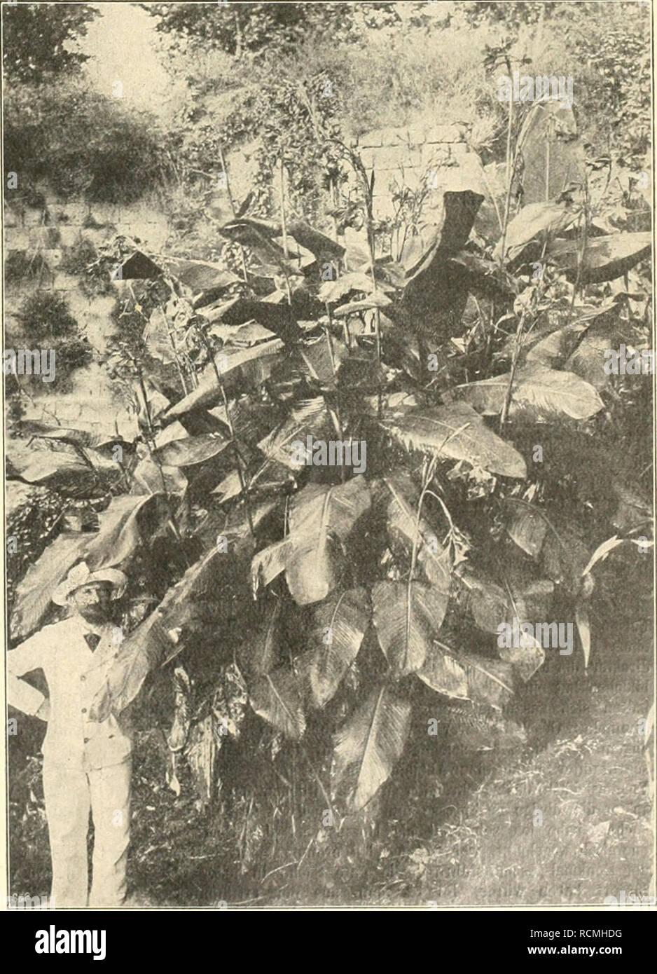. Die Gartenwelt. Gardening. IX, 42 Die Gartenwelt. 497 Einzelpflanzung oder in kleinen Qnippen an Teich- oder Grabenrilndern, wo die Wurzeln möglichst dauernd im durch- näßten Uferboden wuchern können, entwickeln sich diese Cmina prächtig und sind dort von unübertrefflicher malerischer Wirkung. Welche riesenhaften Formen besonders kräftige Exemplare erreichen können, zeigt die untenstehende Abbildung nach einer in meinen Kulturen photographisch aufgenommenen, an einem Wassergraten stehende Pflanze, deren Blütenstiele bis zu 3^/^ m Höhe emporragen. Ich muß allerdings erwähnen, daß der Wurzelst Stock Photo