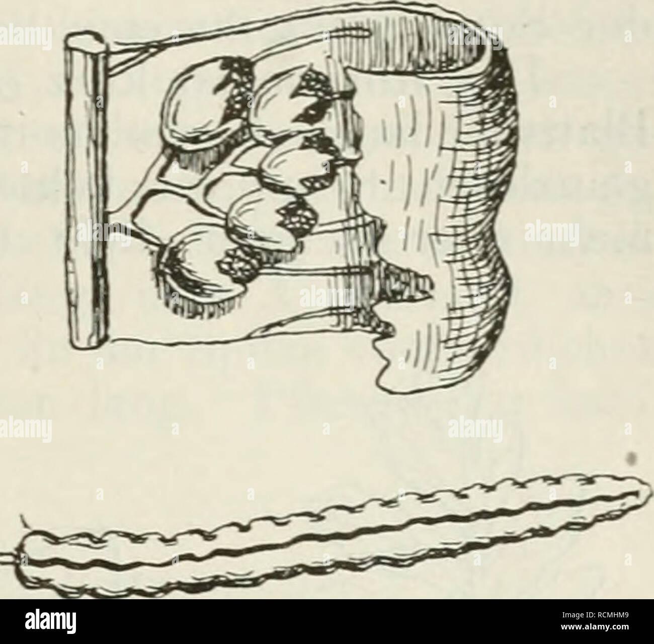 . Die Farnkräuter der Erde : beschreibende Darstellung der geschlechter und wichtigeren Arten der Farnpflanzen mit besonderer Berücksichtigung der Exotischen. Ferns. Onoclea L. Struthiopteris Willd. Acrophorus Presh 2Sl. 900. S. germanica. Fertile Fieder, nat. Gr. Ausschnitt aus derselben mit den Sori, vergr., nach Luerssen. tragen und als innern Kreis einige fertile Blätter. Sterile Blätter kahl, vom Typus eines Aspidium, meterlang, ganz kurz gestielt, dicht gefiedert. Fiedern nach der Basis bis in's Verlieren ver- kleinert, tief, doch nicht ganz zur Spindel in regelmässige, mehr oder weniger - Stock Image