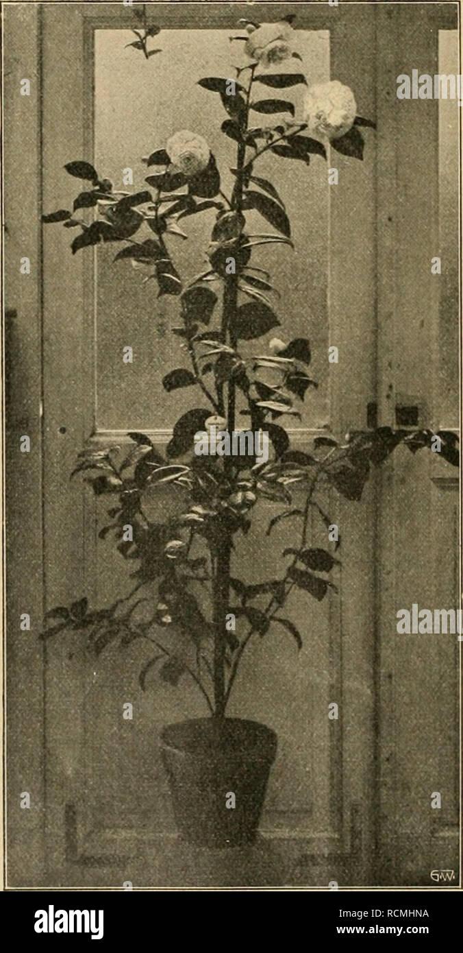 . Die Gartenwelt. Gardening. Camellia japonica alba plena, oben Einzelblume. Zwei seltene Pelargonien. Von Dr. P. Roth, Bernburg. (Hierzu eine Abbildung.) Pelargonium echinatum, aus dem Kapland, zeichnet sich dadurch aus, daß der Stamm mit starken, spitzen, rundlichen, halbkreis- förmigen Stacheln dicht besetzt ist. Die langgestielten, rundlich - herz- förmigen Blätter sind weich behaart und schlaff. Die langgestielte Blüten- dolde wird von etwa 10—15 gros- sen, milchweißen Blüten gebildet; die oberen Blütenblätter sind mit purpurroten Flecken und Saft- malen geschmückt. Die Pflanze ist recht  Stock Photo