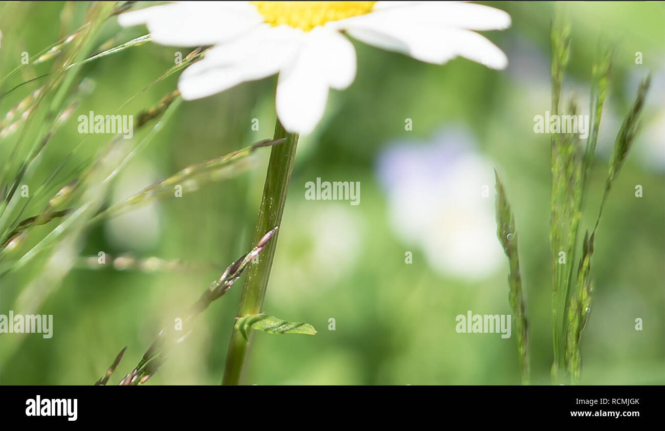 Idyllic rural summer scenery in the countryside with closeup detail of daisy wildflowers in a green meadow with blurred background for text copy - Stock Image