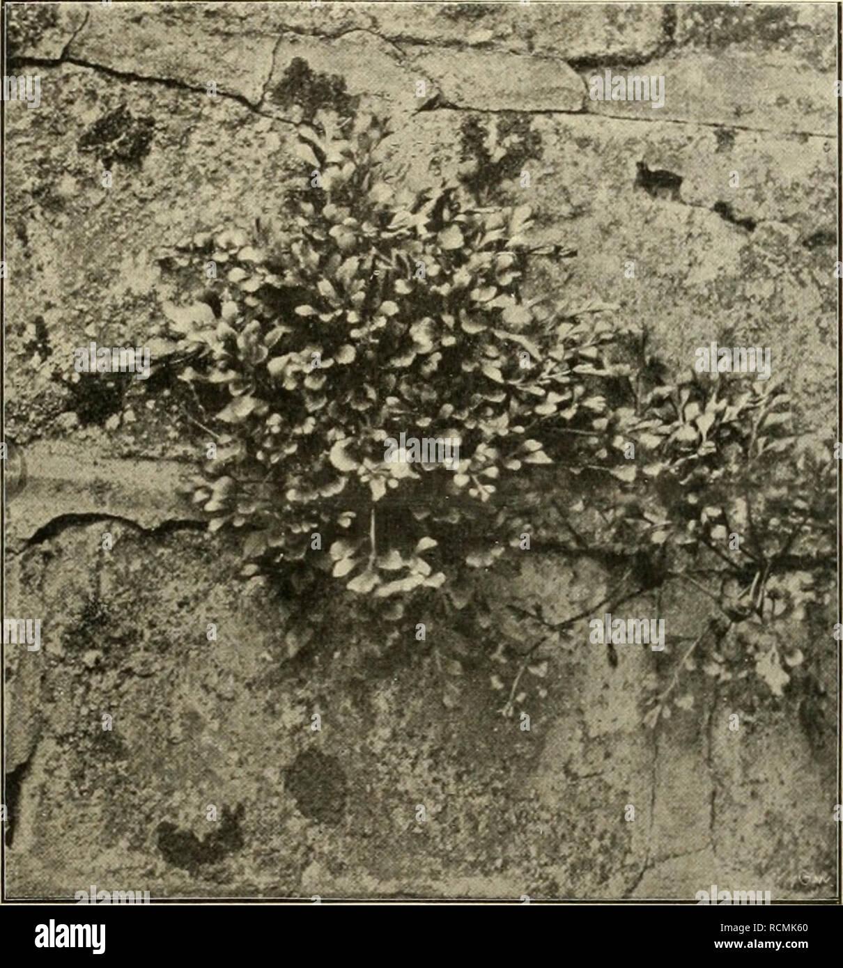 . Die Gartenwelt. Gardening. VII, 42 Die Gartenwelt. 495 Nicht zuletzt ist es daher die Aufgabe derjenigen Gärtnereien, welche für Bindegeschäfte produzieren, für vor- zügliches, möglichst formenreiches Schnittgrün zu sorgen. Es ist in den letzten Jahren wiederholt über Sehnitt- grünkulturen geschrieben worden, auch sind in der letzten Zeit schon in vielen Gärtnereien sehr zweckmässig ein- gerichtete Kulturräume geschaffen worden, in welchen bestimmte Pflanzen, wie z. B. Mcdeola, Lygodium und rankende Asparagus und einige andere bekannte Pflanzen zu üppigster Entwicklung gelangen, doch wäre es Stock Photo
