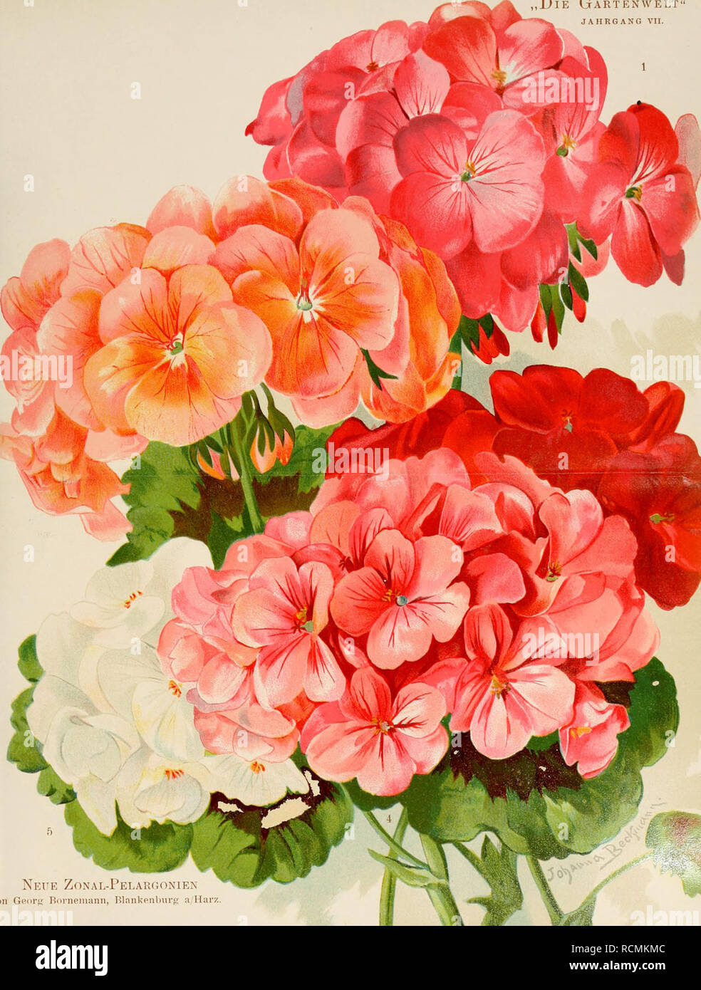 """. Die Gartenwelt. Gardening. Die G^. Neue Zonal-Felaruonien """"""""' 011 Geors Boi-neniann, Blankenburg a Harz.. Please note that these images are extracted from scanned page images that may have been digitally enhanced for readability - coloration and appearance of these illustrations may not perfectly resemble the original work.. Berlin : G. Schmidt Stock Photo"""