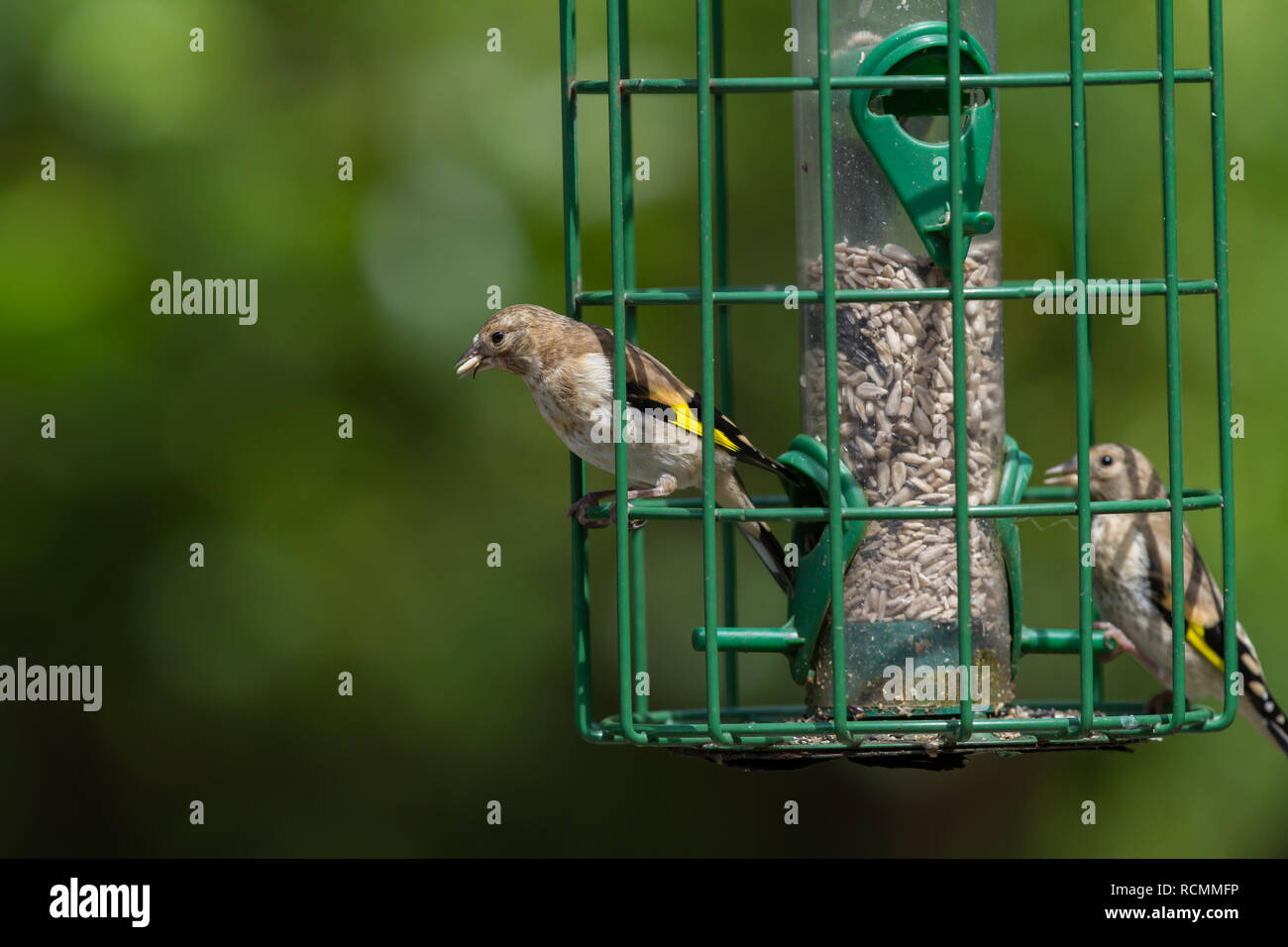 Godfinch. Carduelis carduelis. Two juvenile birds on squirrel proof sunflower feeder. - Stock Image