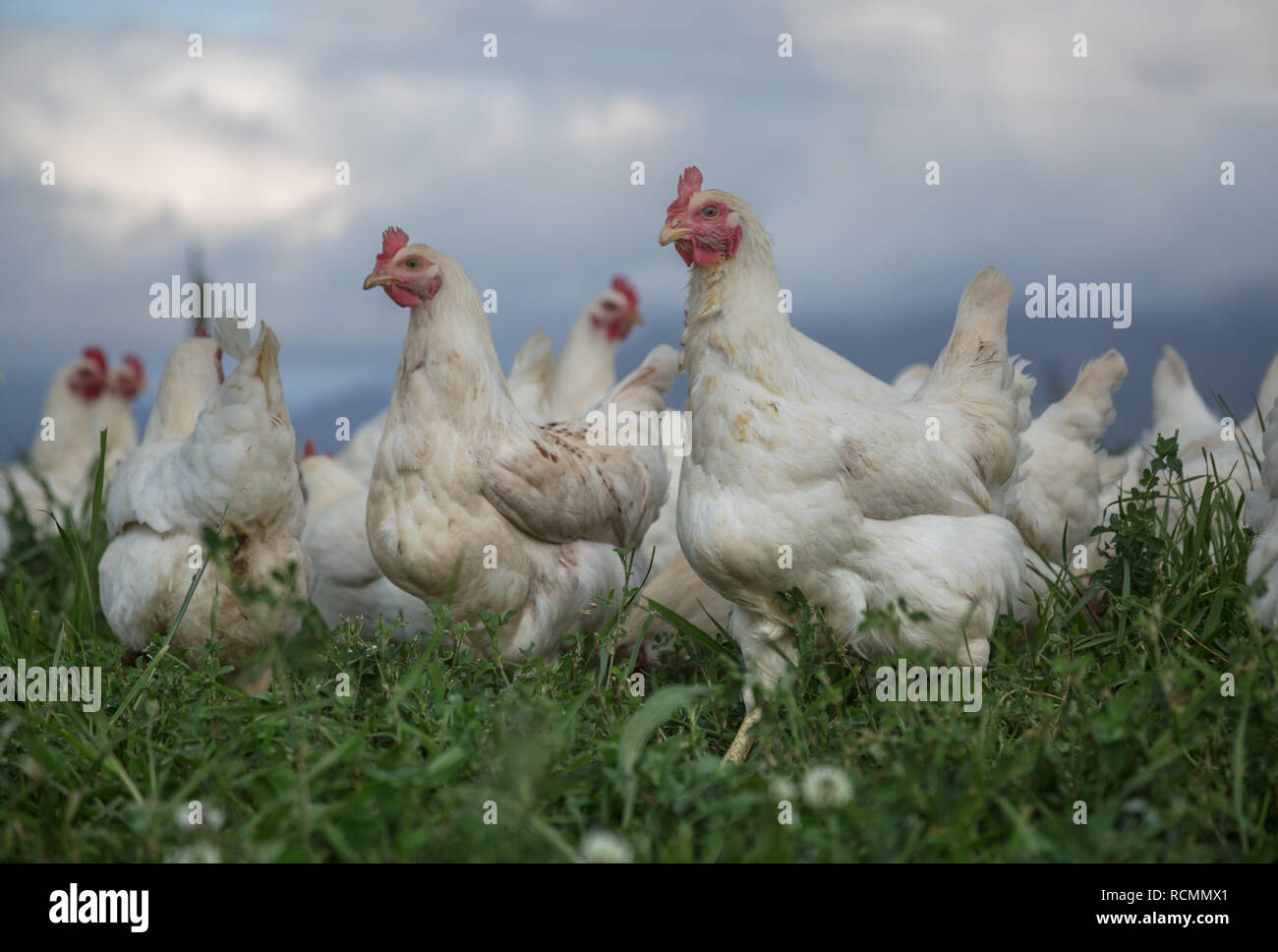 Healthy free range hens in a green field under open sky - Stock Image
