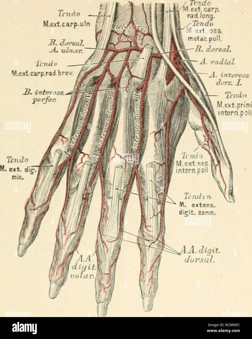 """. Die descriptive und topographische Anatomie des Menschen. Anatomy. Arteria radialis et ulnaris. 513 Tnitto M.ext.carp.uln { /. LA.digit. I Jursal. 724. Die Arterien am Handrücken. Der oberflächliche Hohlhandbog (siehe Fig. 722 , richte! seine Convexität gegen die Pinger; er wird durch den ihlichen Hohlhandast der Art. radialis, vorwiegend aber durch jenen der Ar/, ulnaris erzeugt. Aus seiner Convexität entstehen drei bis vier Arteri lares communis, welche Bich in die Arteriat digital zerspalten, um die einander zugis an deren Spitz."""" hin zu versorgen. Der tiefliegende Hohlhandbogen, - Stock Image"""