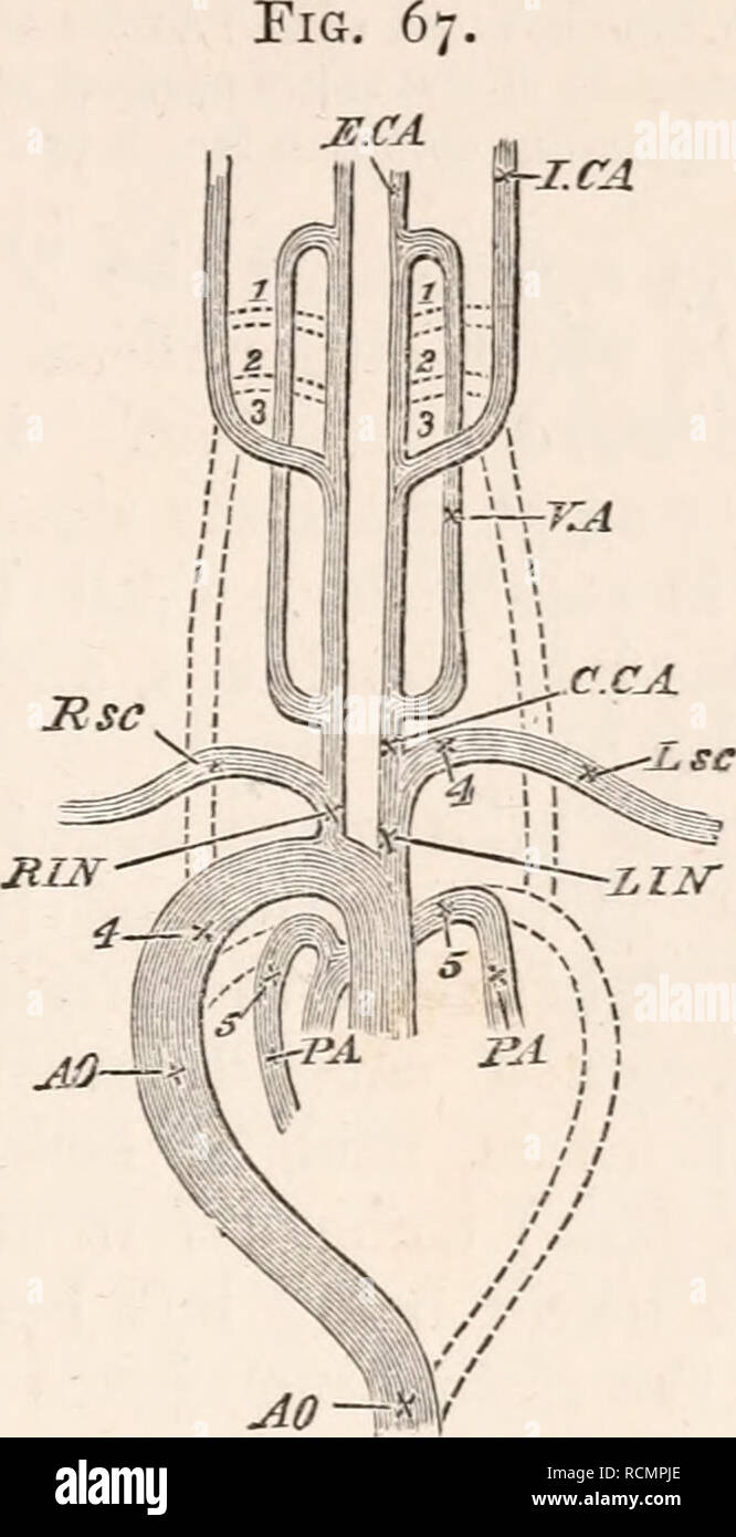 viii ] the ductus botalli  219 chiefly in the complete separation of the  pulmonary and systemic circulations   diagram of the arterial system of the  adult
