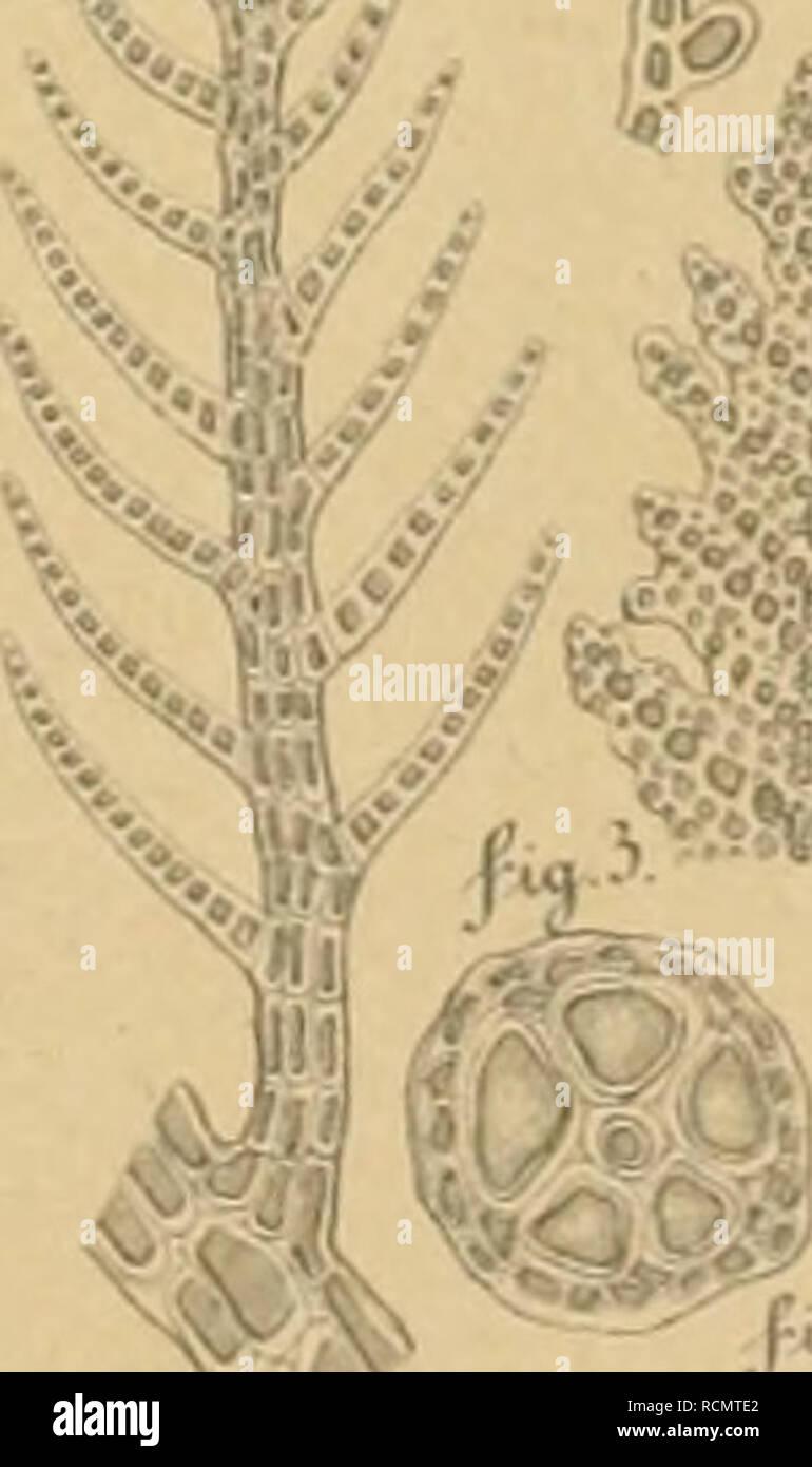 ". Die Deutschen Expeditionen und ihre Ergebnisse. Hrsg. im Auftrage der Deutschen Polar-Kommission von deren Vorsitzendem G. Neumayer. Natural history -- Polar regions; Scientific expeditions; Polar regions. Kalymenia [nul^iFjda. Taf.lll. f ßw. ^^'^^}. « ^5^Ä. ' •?*?""!* ^^:S>:; ""^^r^fifMi I l Dasyapechnara Phlo^a. conFluens. PfReinsch.delin. E.Steader.Uth.. Please note that these images are extracted from scanned page images that may have been digitally enhanced for readability - coloration and appearance of these illustrations may not perfectly resemble the original work.. Intern - Stock Image"