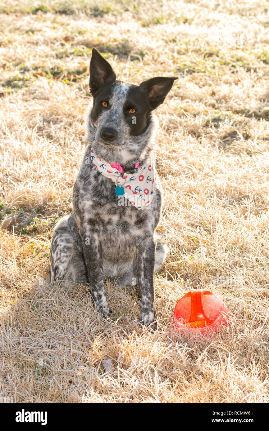 Black and white Texas Heeler dog sitting in frosty morning grass in winter sun next to her ball, begging you to play with a tilted head - Stock Image