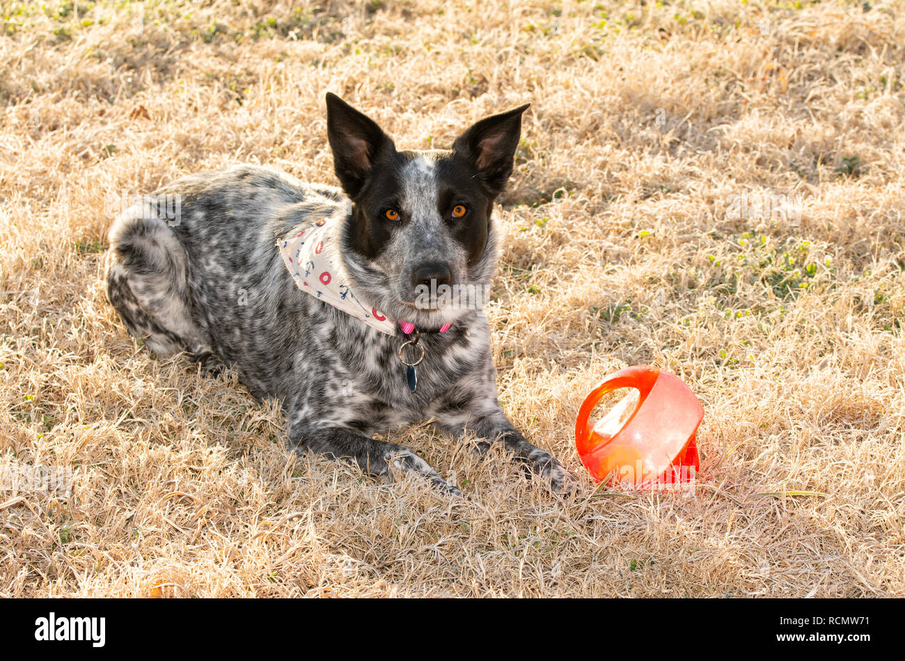 Black and white spotted dog lying in frosty morning grass next to her ball, waiting for you to come and play with her - Stock Image