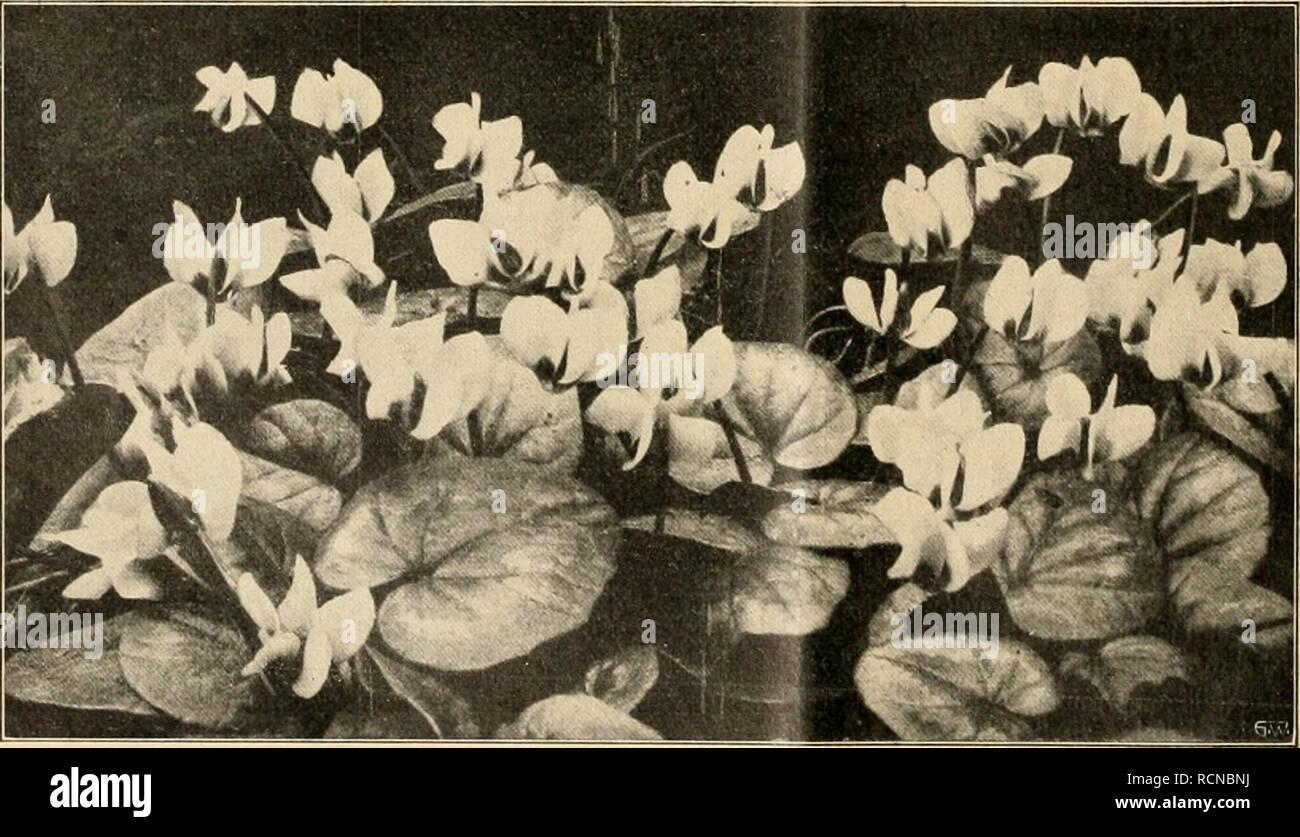 . Die Gartenwelt. Gardening. 148 Die Gartenwelt. XVII, 11 misien überstanden auch ihn, und zwar so gut, daß wir einige Exemplare als Kuriosum mit auf die Berliner Chrysanthemumschau am 1. bis 3. November brachten. Später wurden dieselben als Vogelschutzgehölz an einer Futterstelle zusammengepfianzt und ge- währten hier noch einen hübschen Anblick. Artemisia sacrorum, die vielleicht von A. scoparia abstammt, ist also wohl wert, kultiviert zu werden; sie ist für Herrschafts- und Landschaftsgärtner als Einzel- pflanze im Rasen eine hübsche, billige und zugleich interessante Dekorationspflanze. H. Stock Photo