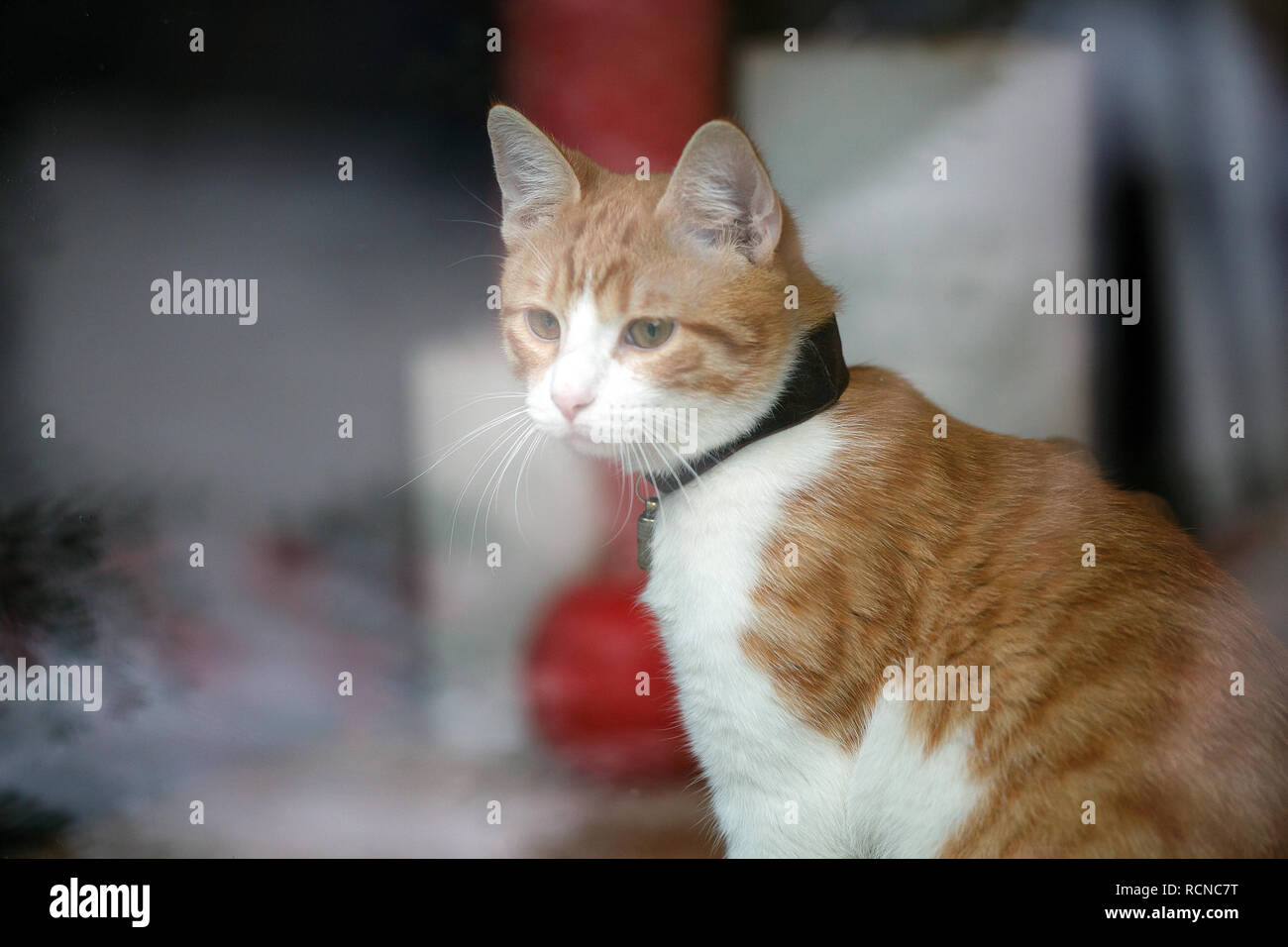 Domestic cat sitting in shop window  Small business ideas