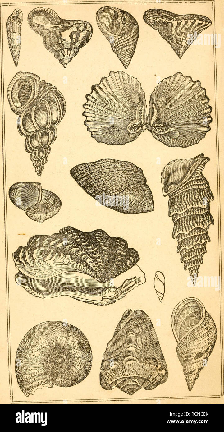 . Elements of conchology / Prepared for the use of schools and colleges. Mollusks. . Please note that these images are extracted from scanned page images that may have been digitally enhanced for readability - coloration and appearance of these illustrations may not perfectly resemble the original work.. Ruschenberger, W. S. W. (William Samuel Waithman), 1807-1895; Comté, Achille, 1802-1866; Milne-Edwards, H. (Henri), 1800-1885. Philadelphia : Grigg & Elliot - Stock Image
