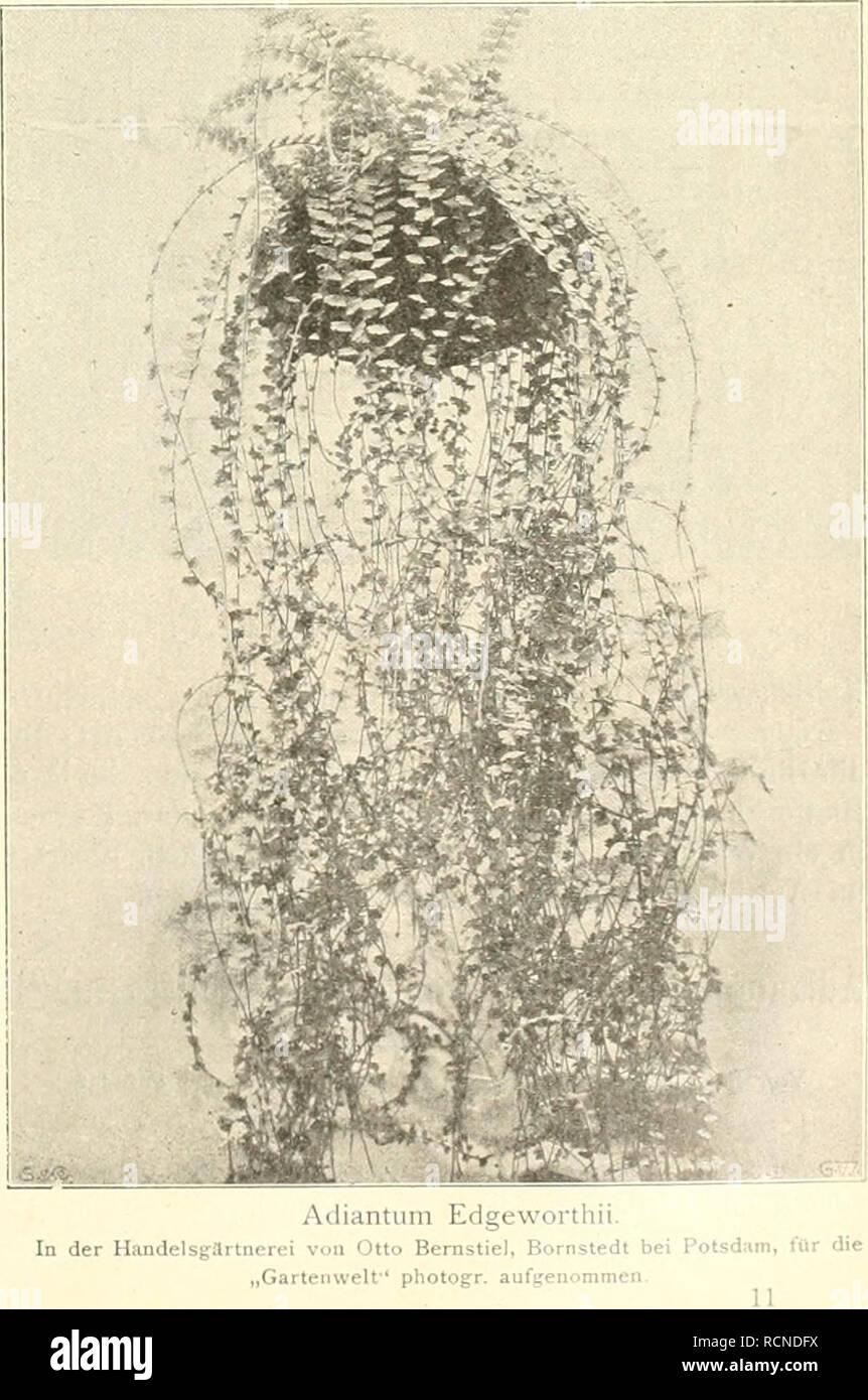 . Die Gartenwelt. Gardening. ustriertes Wochenblatt für den oresamten Gartenbau. Jahrgang IX. 10. Dezember 1904. No. 11. Nachdruck und Nachbildung aus dem Inhalt dieser Zeitschrift wii'd strafrechtlich verfolgt. Farne. Scolopendriiira oflicinaniiii f. iiiidiilatiim. Von Otto Bernstiel, Farngärtnerei, Bornstedt bei Potsdam. {Hierxu die Tondrucktafei.) U nter den in Deutschland im Freien ausdauernden Farnen gibt es viele Arten, welche bezüglich ihres Wertes als Handels- und Dekorationspflanzen verdienten mehr beachtet zu werden. Unsere schönen Freilandfarne finden leider beim groiien Publikum me Stock Photo