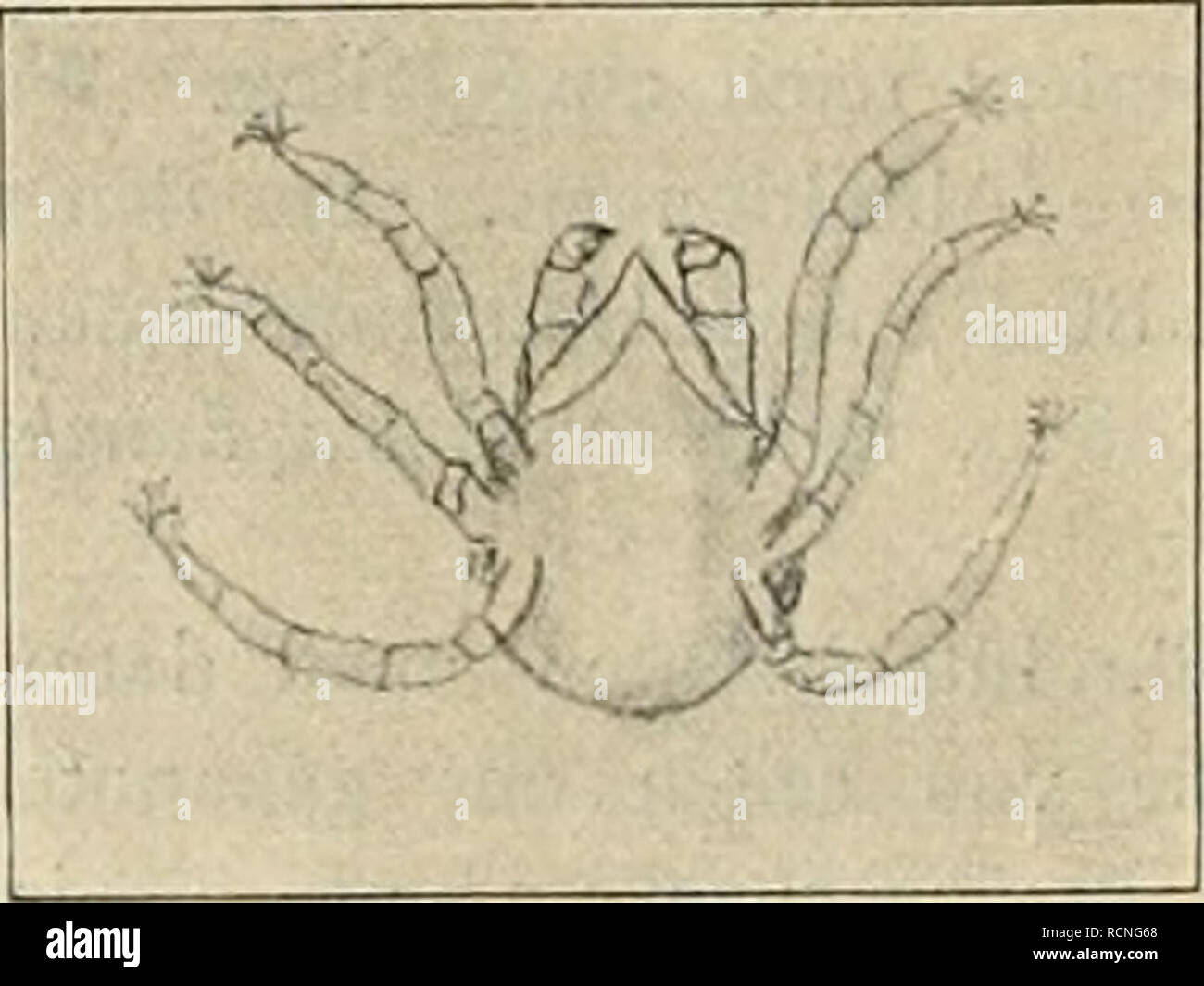 """. Die Gartenwelt. Gardening. r-- """"^â X '.-- ' i -â A 4 â Weibchen. Männchen. Lindenspinnmilbe (Tetranychus lelarius) 86 mal vergröfsert. günstigen äufseren Bedingungen die Bevölkerung eines mäfsig grofsen Lindenbaums auf Millionen von Individuen anwachsen kann, und dieser ungeheuren Zahl von Konsumenten kann schliefs- lich die ganze stattliche Laubkrone zum Opfer fallen. Ihres Saftes beraubt, trocknen die Blätter zusammen; unfähig, ihrer Aufgabe als Emährungsorgane des Baumes weiter nachzukommen, sinken sie schliefslich als unnütze Glieder zu Boden. Ein Tier, das so augenfälli Stock Photo"""