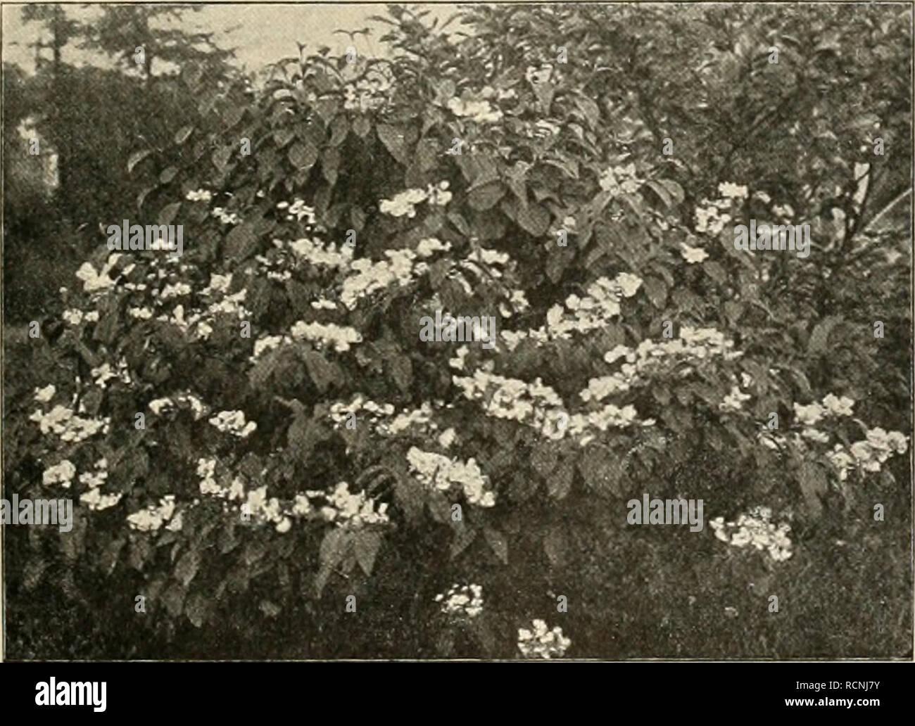 Viburnum Plicatum Tomentosum Stock Photos & Viburnum