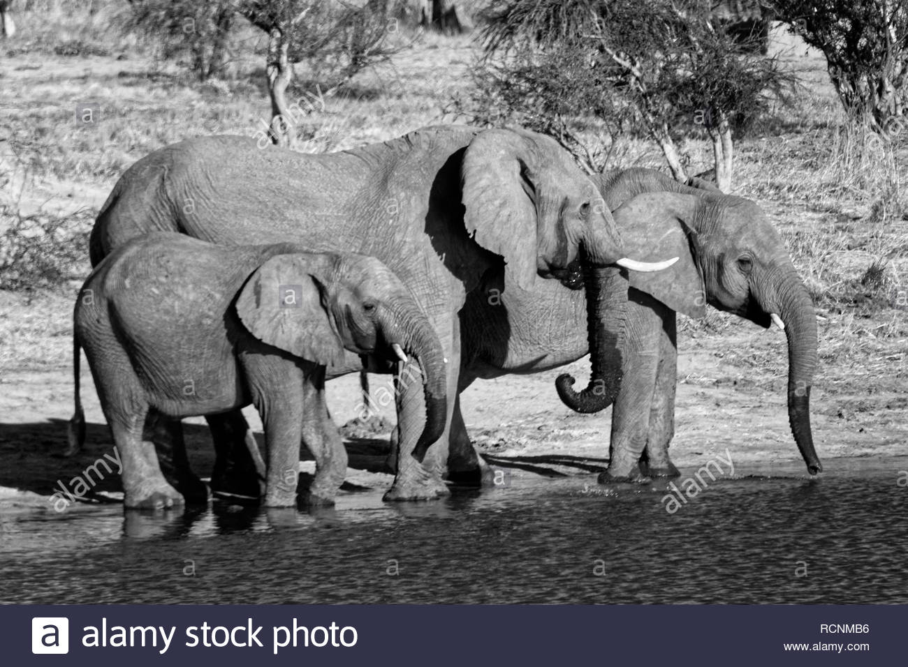 Drinking elephants in Botswana - Stock Image