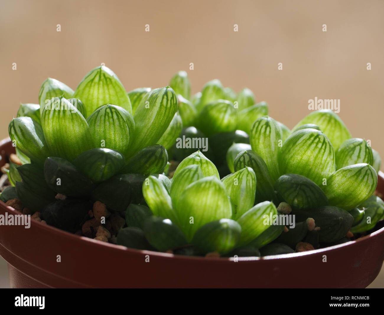 Cute Haworthia plant from my own garden with sun shining on their translucent leaves - Stock Image