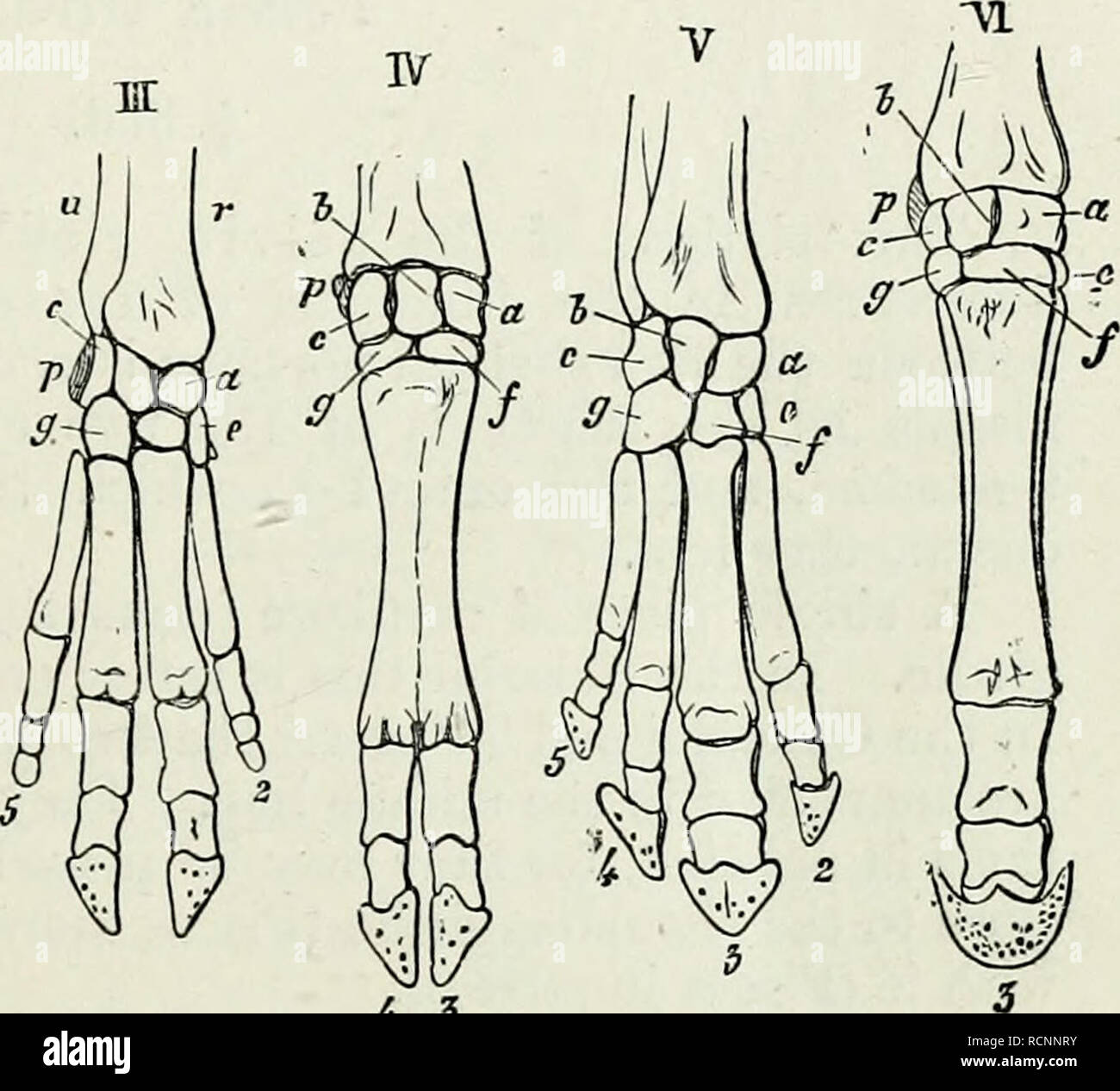 Elements of Comparative Anatomy    4 3 Fig  268  Skeleton of