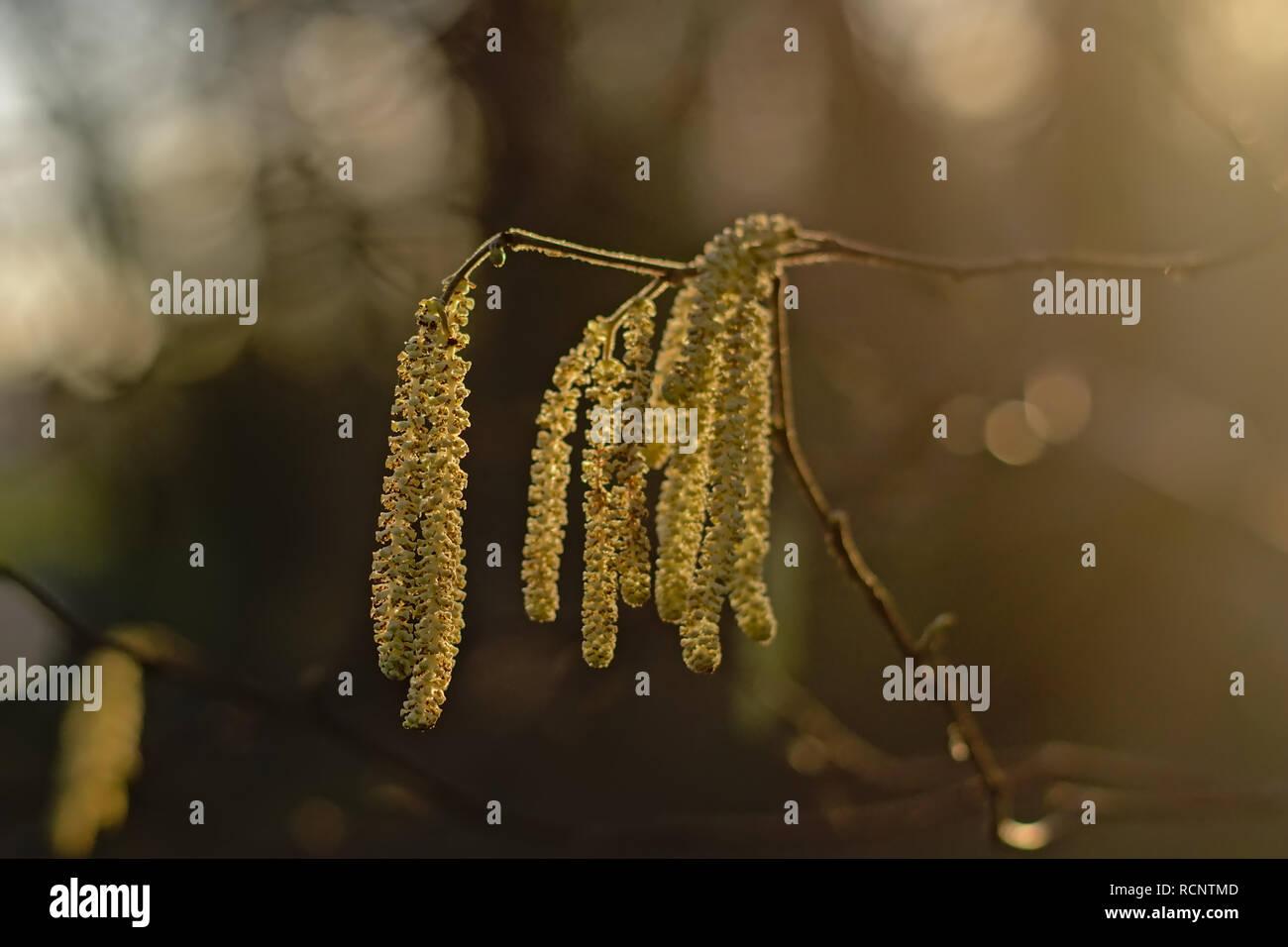 Backlit young male hazel catkins on a bokeh background Corylus avellana - Stock Image