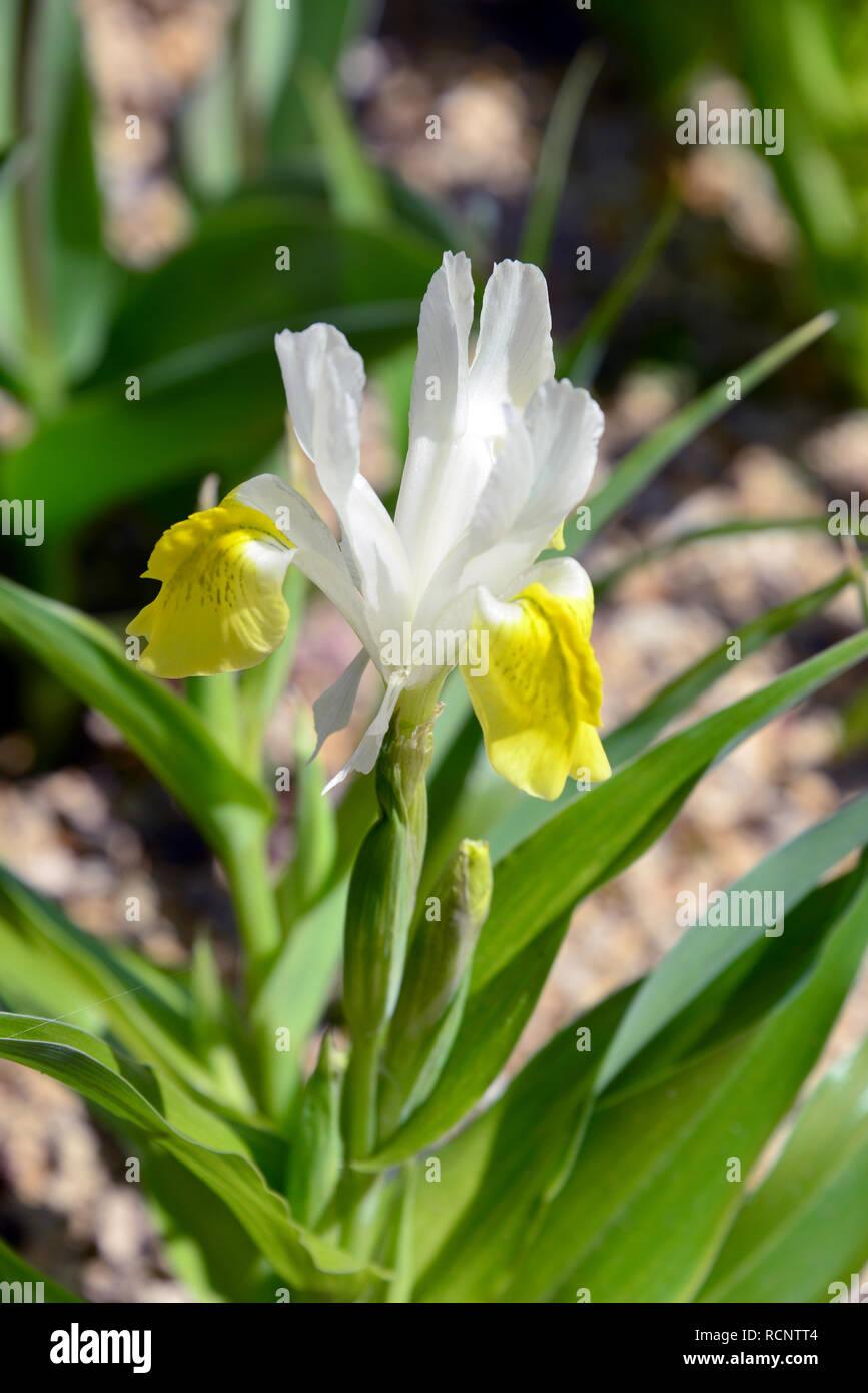 Bukhara iris, corn leaf Iris and horned iris, Buchara-Schwertlilie, Geweih-Schwertlilie, buharai noszirom, Iris bucharica Stock Photo