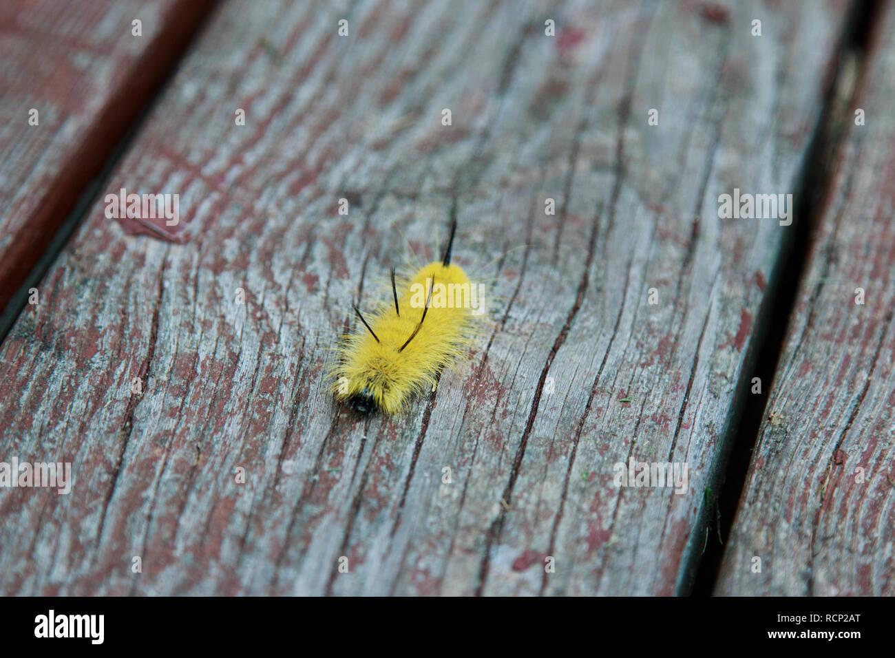 Yellow American Dagger Moth caterpillar crawling on the wood. - Stock Image
