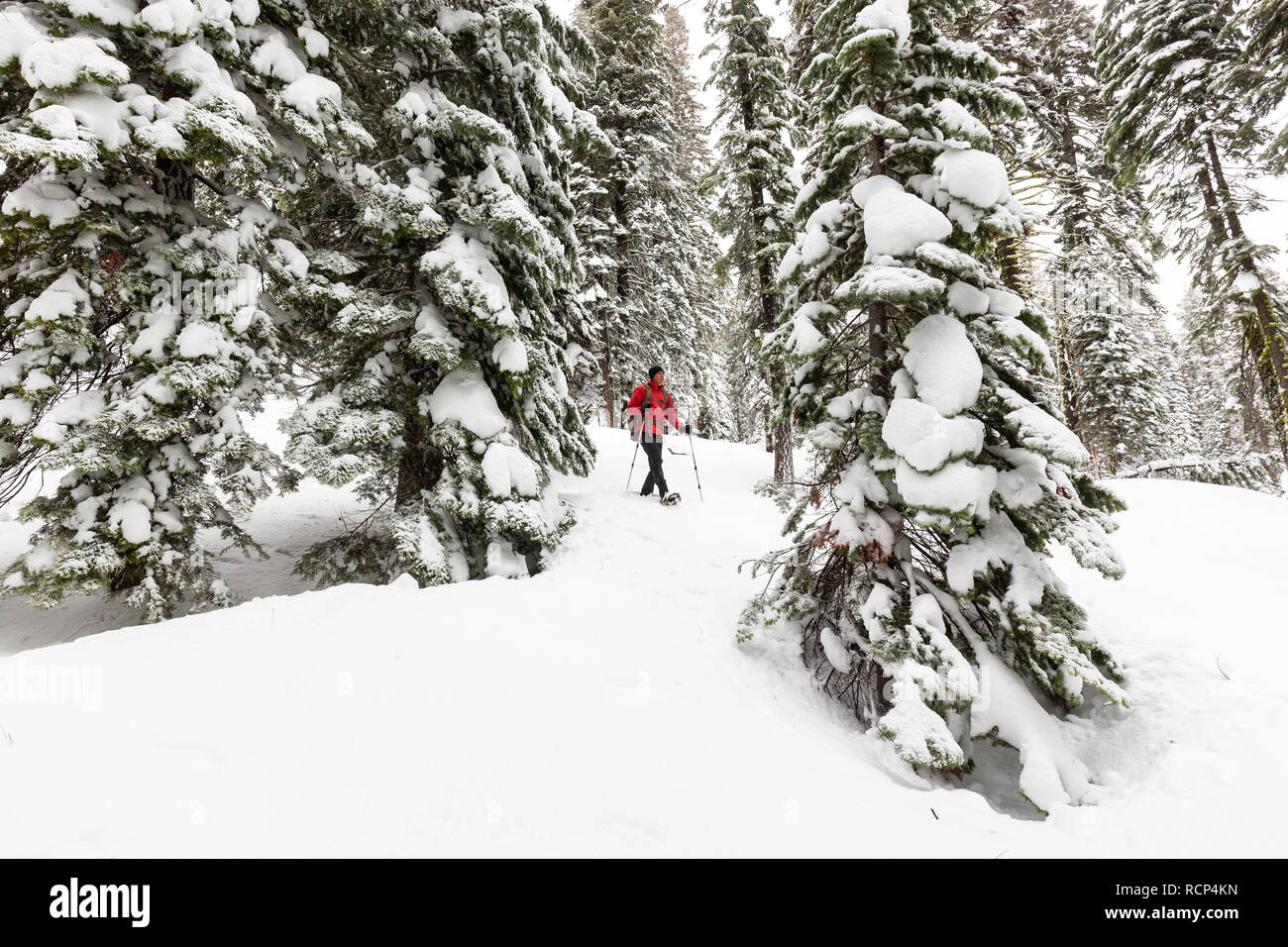 A snowshoer hikes through fresh snow, making first tracks between snow-covered trees in Eldorado National Forest. - Stock Image