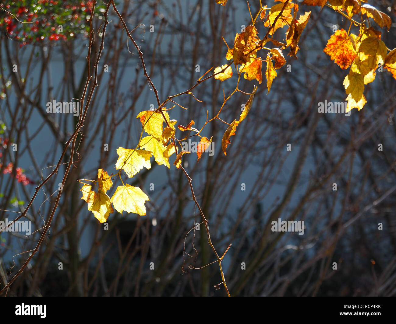 Yellow maple leaves left on the vines in the Chinese Garden at Huntington Library - Stock Image