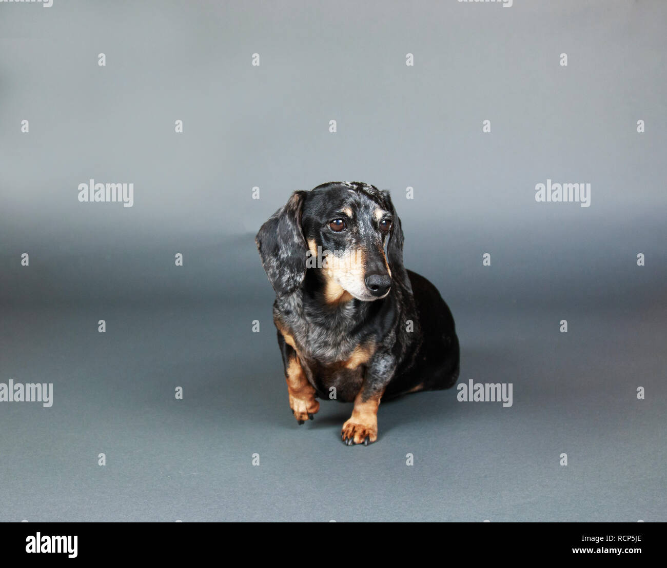 Small Black and Tan dachshund raising paw and sitting on a gray backdrop. - Stock Image