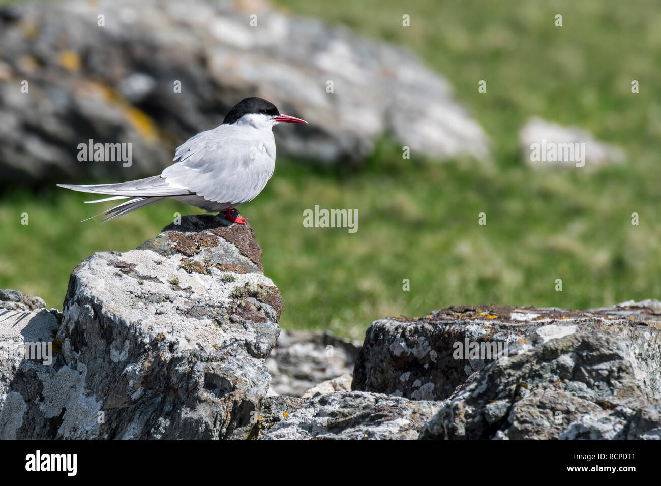 Arctic tern (Sterna paradisaea) perched on rock in spring / summer, Shetland Islands, Scotland, UK - Stock Image