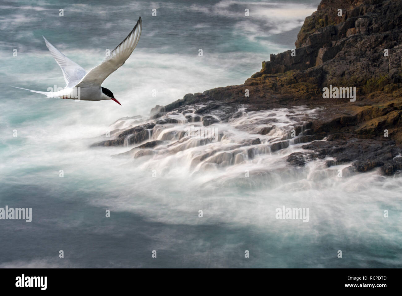 Migrating Arctic tern (Sterna paradisaea) flying over waves crashing on rocks of sea cliff in spring, Shetland Islands, Scotland, UK - Stock Image