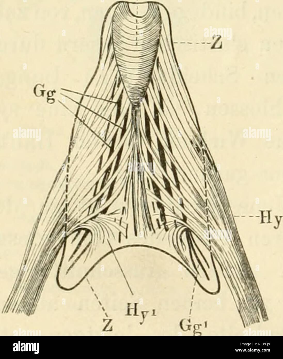 . Die anatomie des frosches. Ein handbuch für physiologen, ärzte und studirende. 10 Organe der Mundhöhle. sal- und zugleich medianwärts (Fig. 3, Cr), die andere tief, ventral und lateralwärts (Fig. 3, G1). Letztere Portion strahlt in sagittaler oder doch nur sehr massig schiefer Richtung, als dünner Muskelfächer, nach rückwärts in die Mucosa oris aus und inserirt sich nirgends an Skelettheilen. Erstere dagegen erzeugt mit ihrem Gegenstück bogige Commissu- ren, welche sich in Form von immer kleiner werdenden Ringtouren (so nehmen sie sich wenigstens bei ventraler Ansicht aus) bis nach rück- w - Stock Image