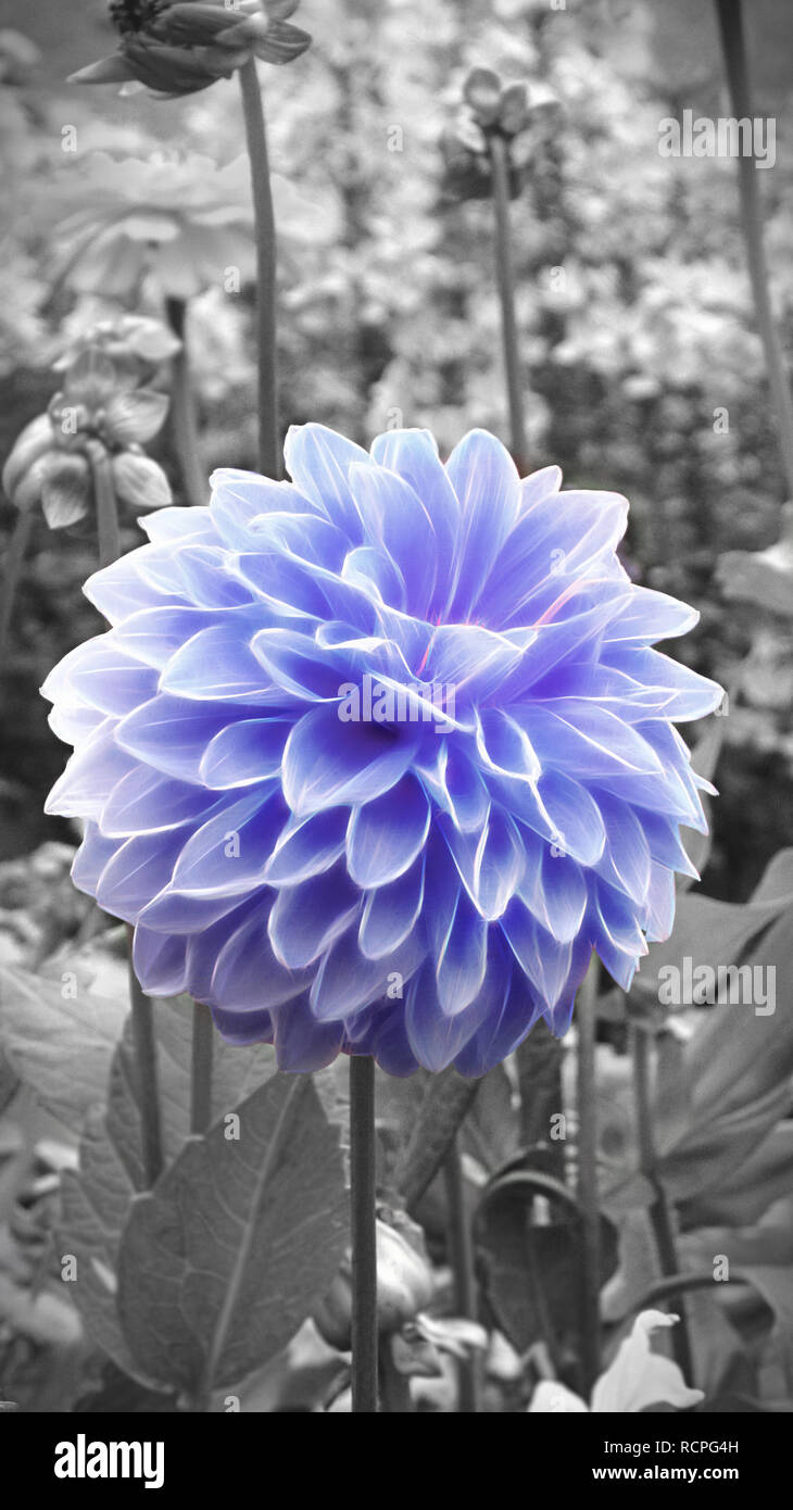 upright__blue chrysanth in a flowerbed with amonochrome background by jziprian - Stock Image