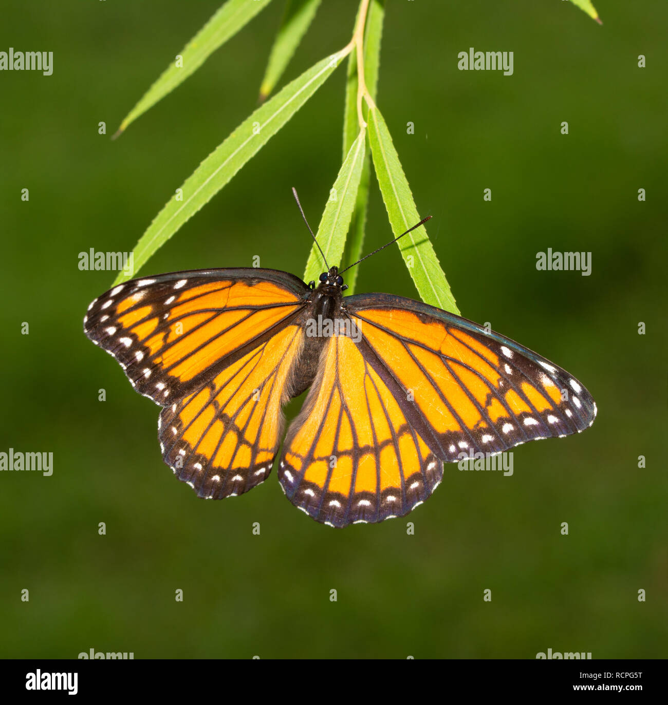 Female Viceroy butterfly laying eggs on tips of Willow tree leaves in fall - Stock Image