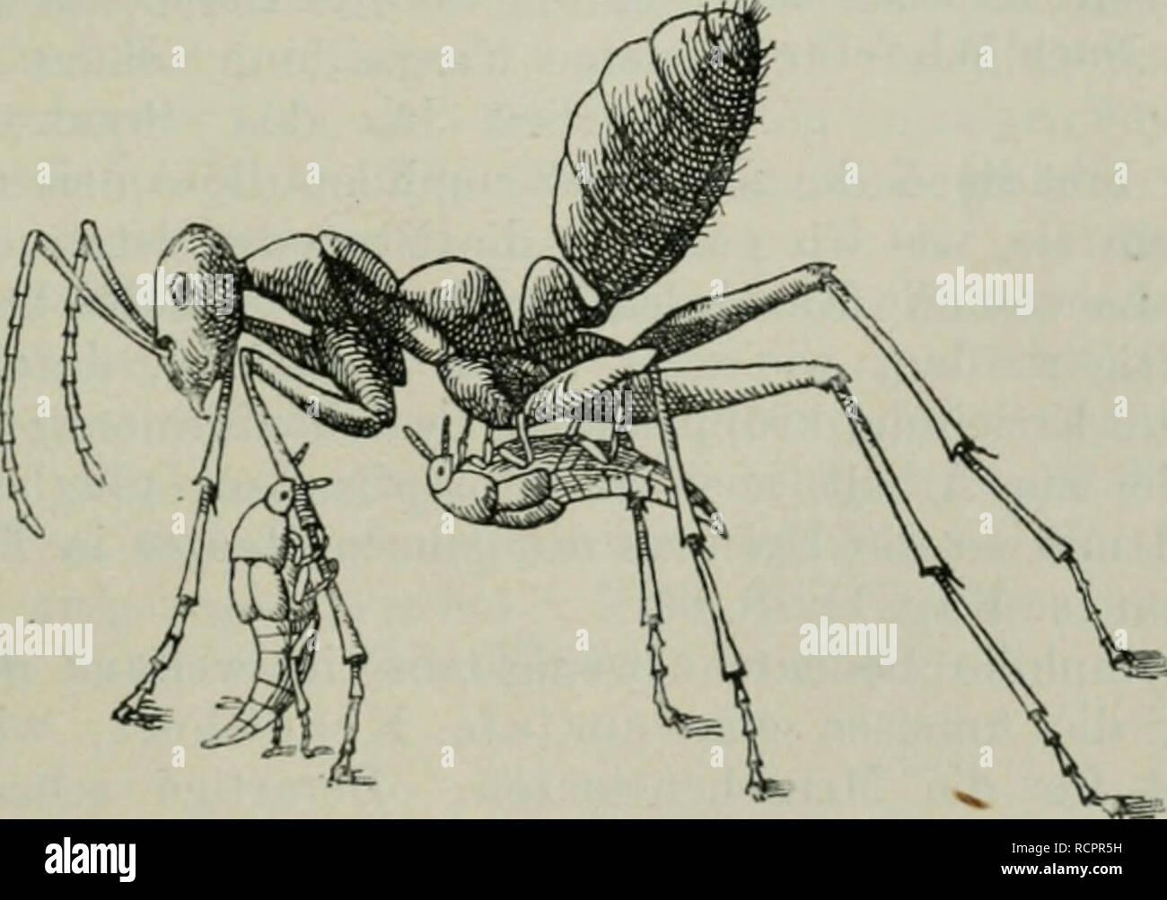 """. Die Ameise. Schilderung ihrer Lebensweise. Ants. P""""'ütterung eines Afemeles durch seine Wirtsameise {Myrmica). Nach Wasmann. Tr Trichome.. Oxysoma oberihüri an seinem Wirt (Myrmecocystns viatims) leckend. Ameisenbrut fest, um sich so direkt oder indirekt transportieren zu lassen (passiver Transport) usw. Was suchen nun die Symphilen bei den Ameisen? So übereinstimmend die Grundlage der Symphilie ist (Exsudate), so mannigfaltig und verschieden sind die Zwecke, welche die ,,echten Gäste"""" in der Ameisengesellschaft verfolgen. Die einen haben es auf. Please note that these images are e Stock Photo"""