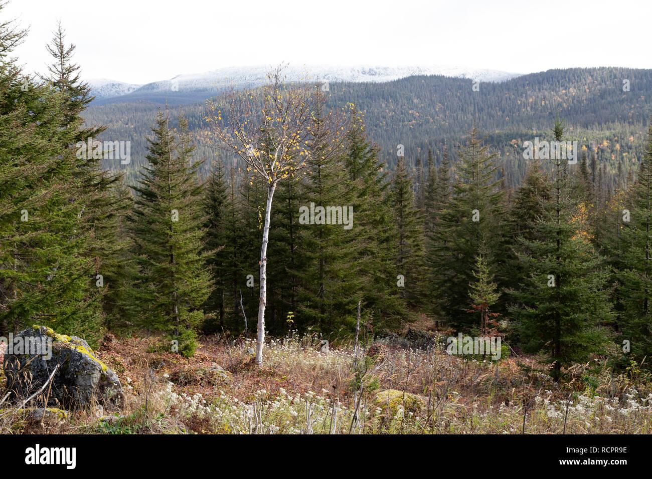 Woodland in Gaspésie National Park (Parc National de la Gaspésie) on the Gaspé Peninsula of Quebec, Canada. - Stock Image