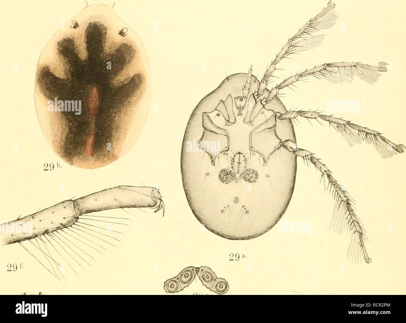 . Deutschlands Hydrachniden. Hydrachnidae; Mites. . Please note that these images are extracted from scanned page images that may have been digitally enhanced for readability - coloration and appearance of these illustrations may not perfectly resemble the original work.. Piersig, R. Stuttgart : E. Nägele - Stock Image