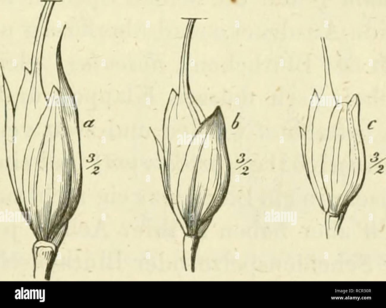 . Deutschlands Gräser und Getreidearten zu leichter Erkenntniss nach dem Wuchse, den Blättern, Blüthen und Früchten zusammengestellt und für die Land- und Forstwirtschaft nach Vorkommen und Nutzen ausführlich beschrieben. Plants. Fig.60. Ph. asperum. 6, c Klap- pen die Aehrc}ien einschlies- seiid. nach oben und bilden oft 2, Fig. G1 — 64, oder mehrere Zipfel, während zwi- schen dem Ursprünge der Granne und der Spitze sich eine längere oder tie- fere Spalte findet, Fig. 65. Diese Spalte findet sich bisweilen auch an Spelzen, denen die Granne fehlt. Dies kommt besonders bei einigen sol- chen Art Stock Photo