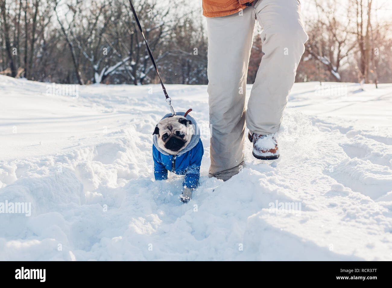 Pug dog walking on snow with his master. Puppy wearing winter coat. Clothes for animals Stock Photo