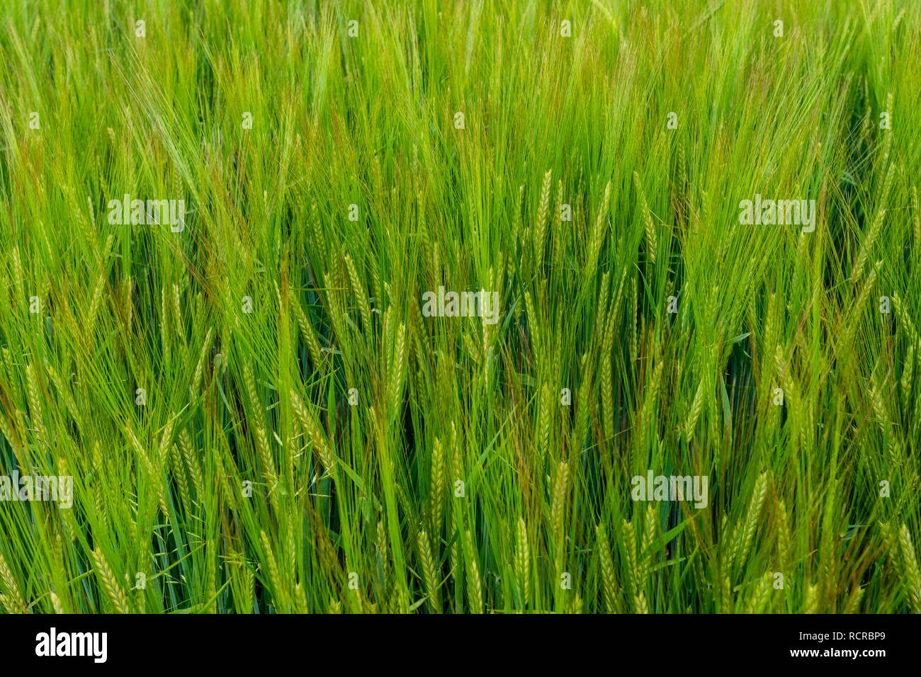 A field of young light green long eared corn. - Stock Image