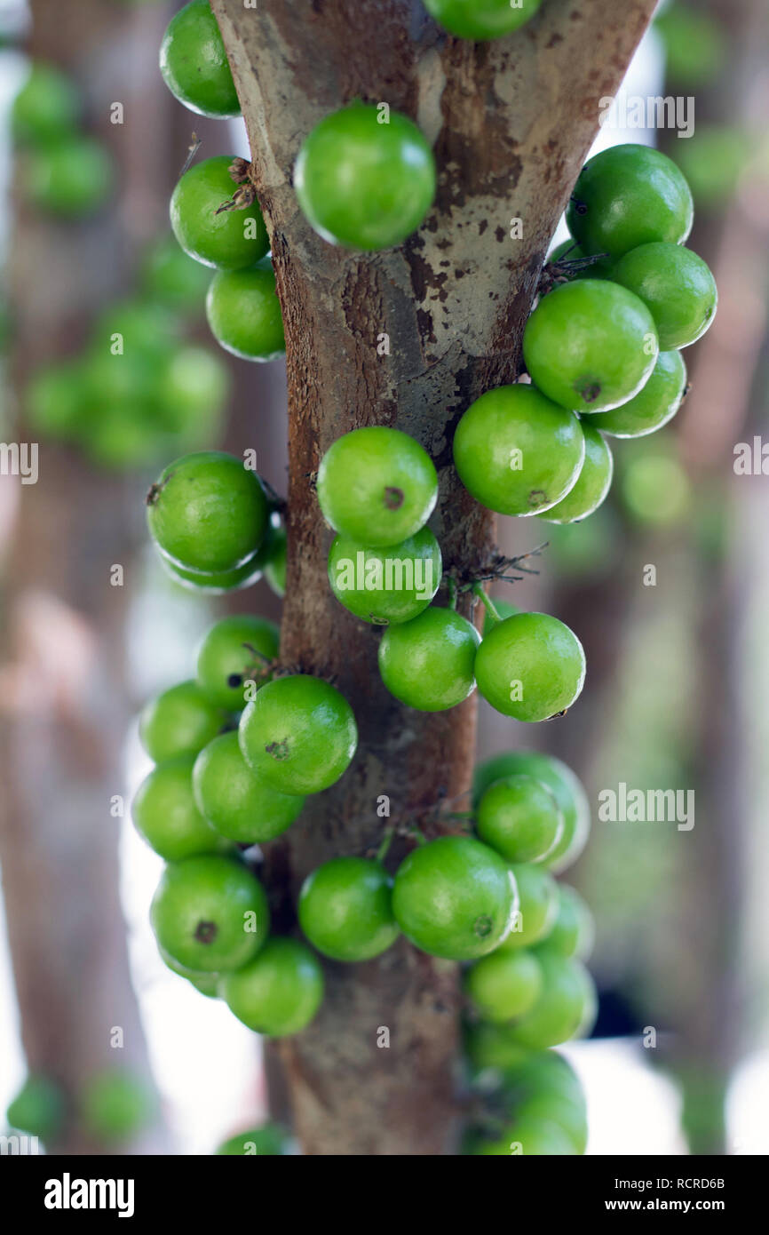 "A full green fruit covered branch of ""jabuticaba"" (Plinia cauliflora), known as Brazilian grapetree in the tree Stock Photo"