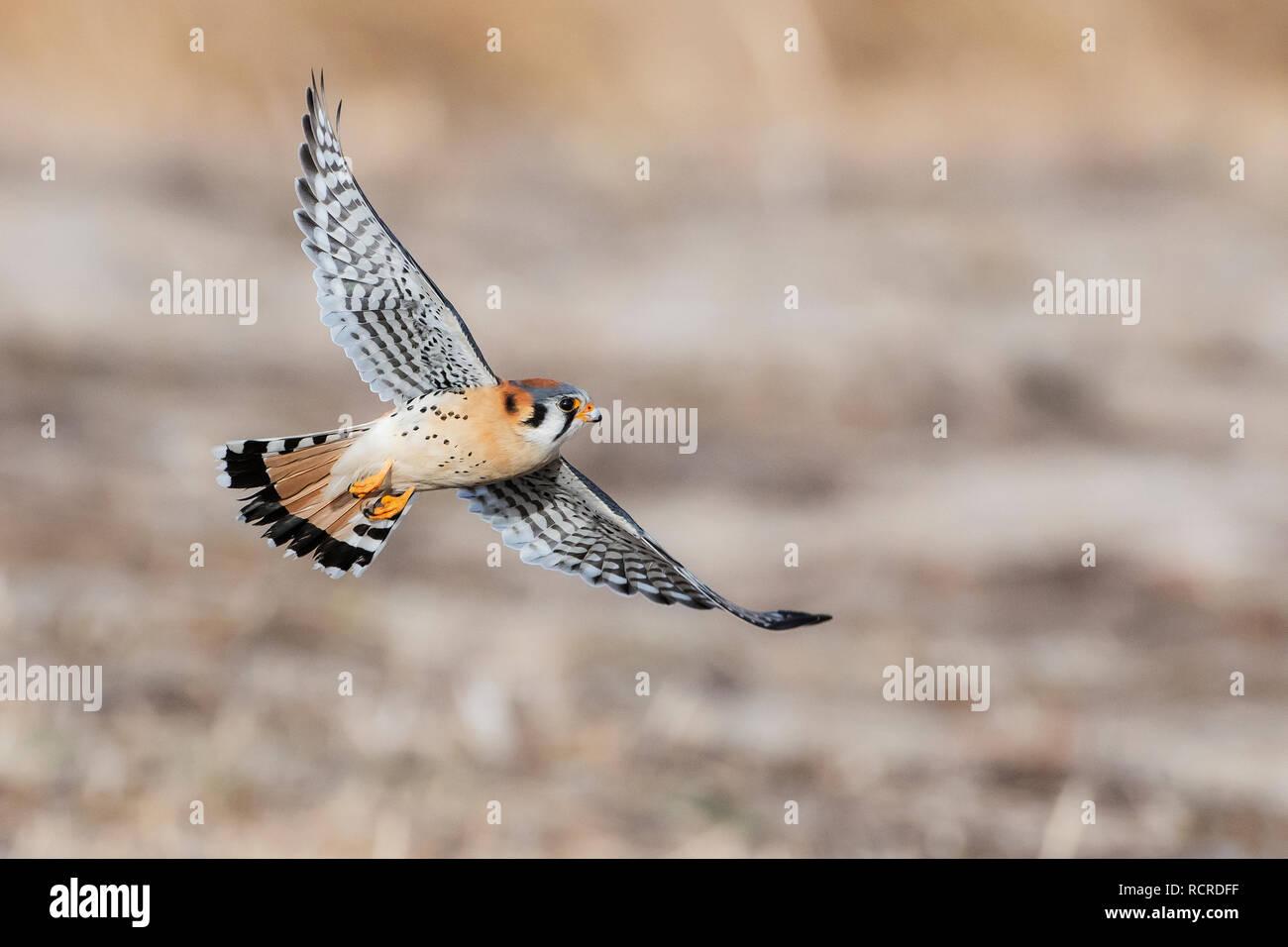 American kestrel flight - Stock Image