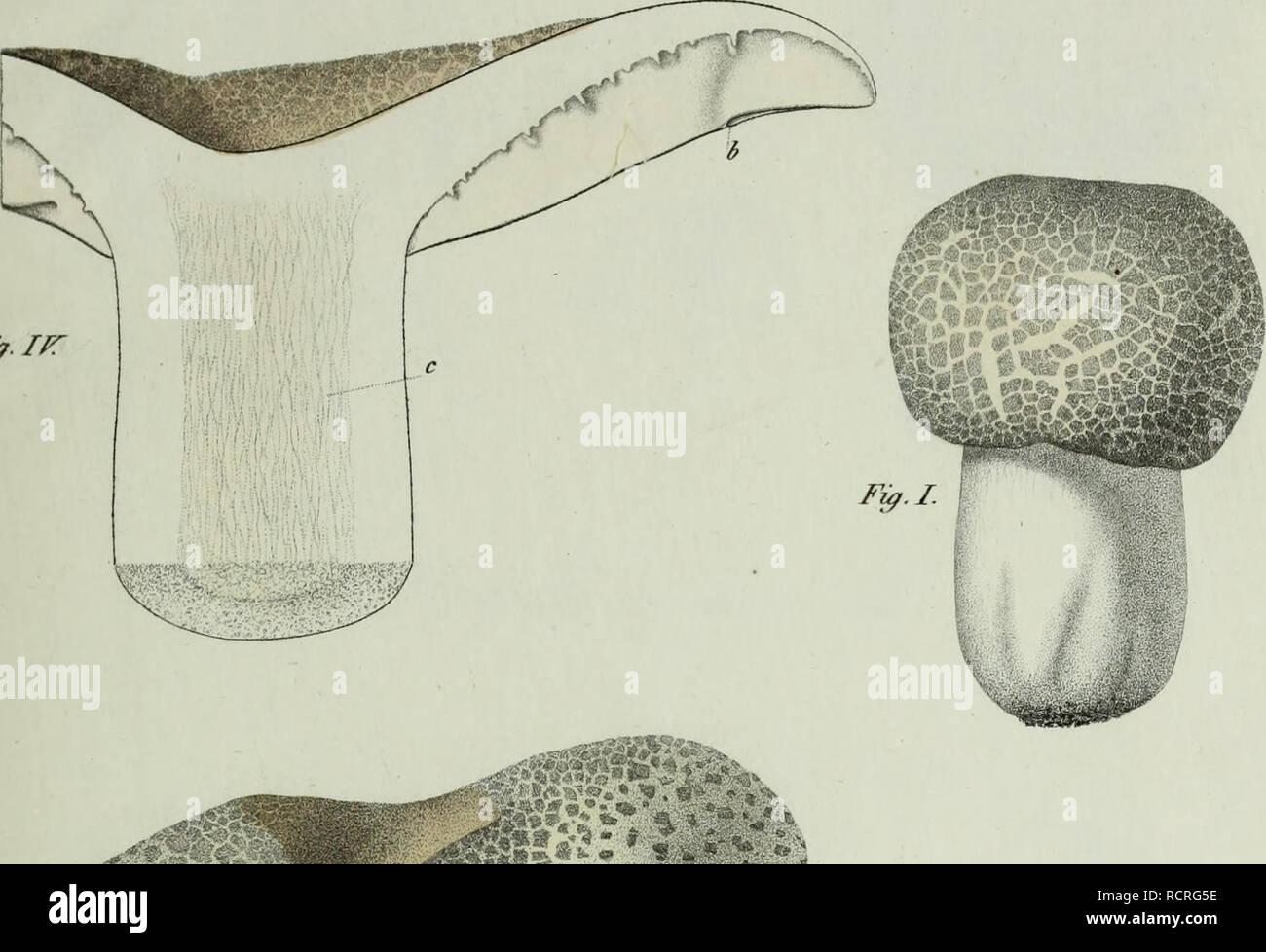 . Descrizione dei funghi mangerecci più comuni dell'Italia e de' velenosi che possono co' medesimi confondersi. Fungi; Mushrooms. Txxxi Fy.IPT. m&5 ^ *-*. - ag flfflfl v#'/ Fi9.n1.. Please note that these images are extracted from scanned page images that may have been digitally enhanced for readability - coloration and appearance of these illustrations may not perfectly resemble the original work.. Vittadini, Carlo; Cavagna Sangiuliani di Gualdana, Antonio, conte, 1843-1913, former owner. IU-R. Milano, Rusconi - Stock Image