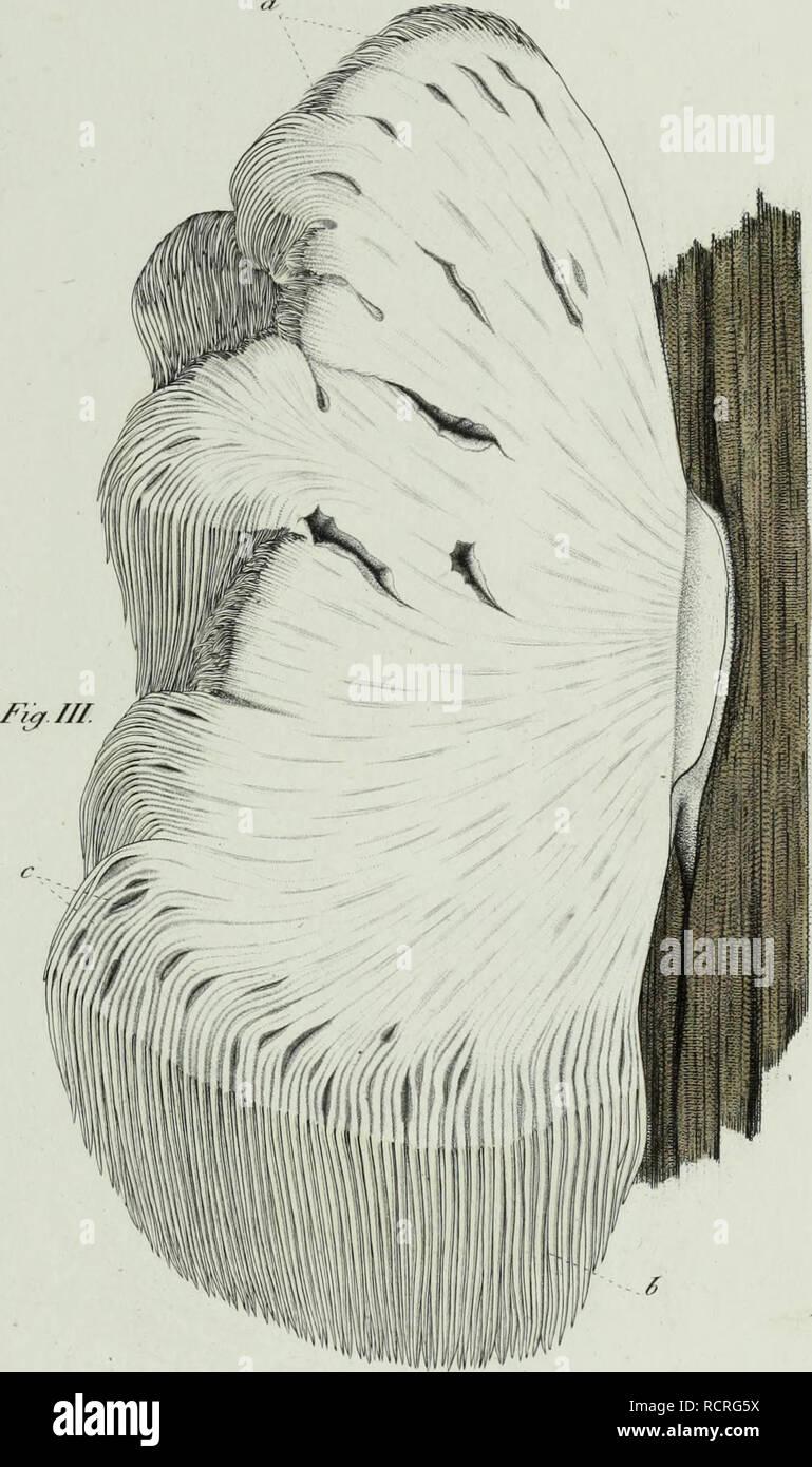 . Descrizione dei funghi mangerecci più comuni dell'Italia e de' velenosi che possono co' medesimi confondersi. Fungi; Mushrooms. M. / f'/fttf/tni &C rrt/fr/r-t, A//.. Please note that these images are extracted from scanned page images that may have been digitally enhanced for readability - coloration and appearance of these illustrations may not perfectly resemble the original work.. Vittadini, Carlo; Cavagna Sangiuliani di Gualdana, Antonio, conte, 1843-1913, former owner. IU-R. Milano, Rusconi - Stock Image