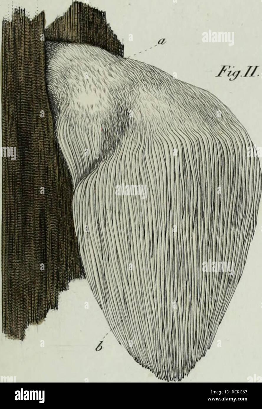 . Descrizione dei funghi mangerecci più comuni dell'Italia e de' velenosi che possono co' medesimi confondersi. Fungi; Mushrooms. Tjtxvz.. Please note that these images are extracted from scanned page images that may have been digitally enhanced for readability - coloration and appearance of these illustrations may not perfectly resemble the original work.. Vittadini, Carlo; Cavagna Sangiuliani di Gualdana, Antonio, conte, 1843-1913, former owner. IU-R. Milano, Rusconi - Stock Image