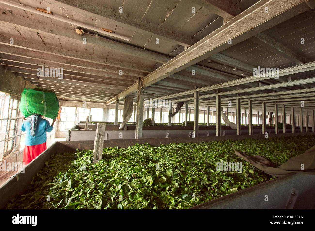 Munnar tea plantation with workers picking tea leaves from the plants. - Stock Image