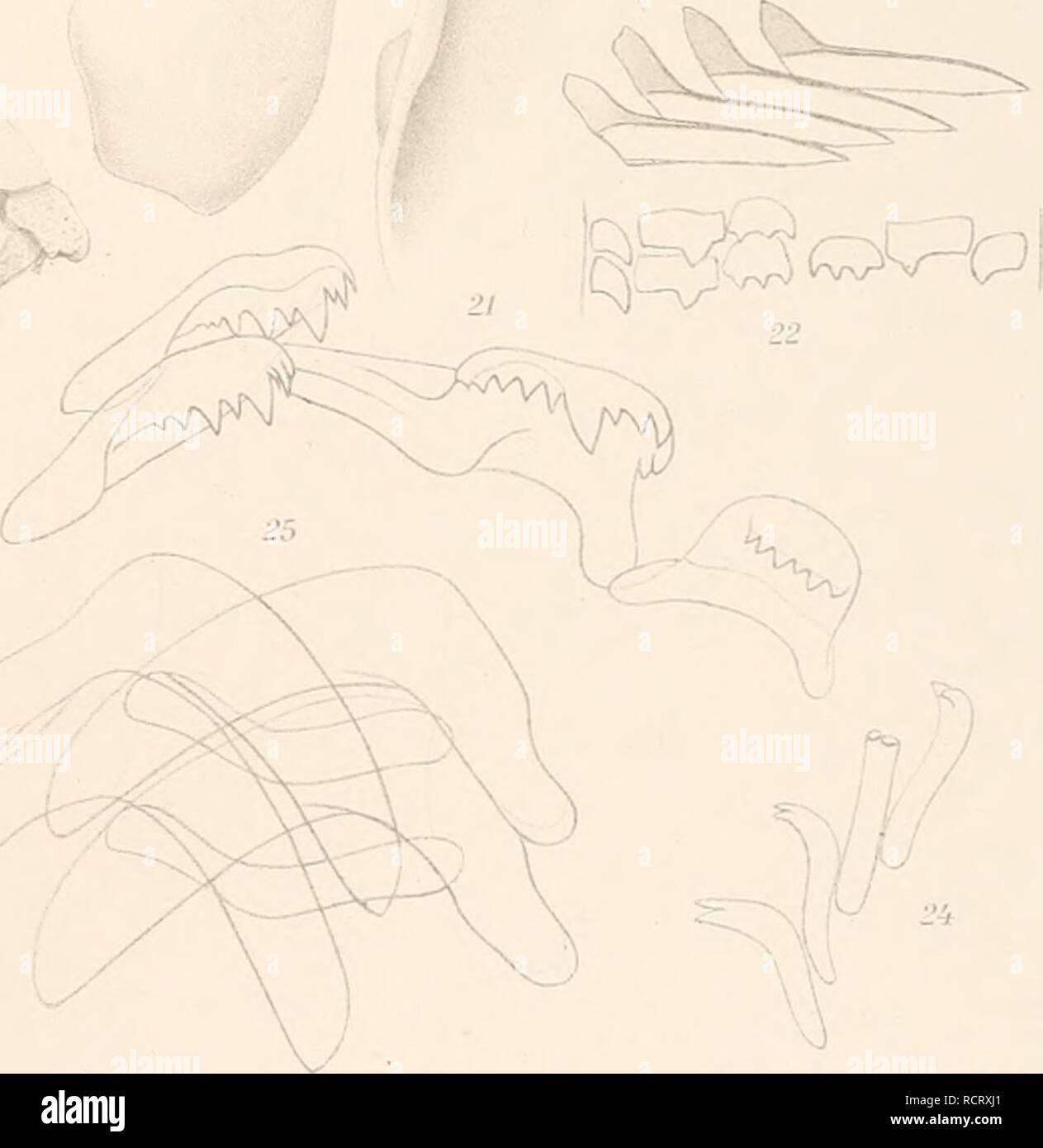. Deutsche Südpolar-Expedition, 1901-1903, im Auftrage des Reichsamtes des Innern. Gauss (Ship); Scientific expeditions; Antarctica. / 3 Bathydoris clarigera, '1 Aegires albus, 5 Prodoridiincnliis ganssianus, 6 Oalvinella glacialis, 7,8 Notaeolidia rnfopida, .'). 10 Psendotrifonia quadrangnlaris, 11 Dolo sp., 12 Cratena exigna, 13 Cominella Ficulina) bouveti, 11 Phasianella 1 Chromotis nnniieri, 15 Jeffreysiopsis duperrei, 16 Skenella sp., 17 Diaphanella fragilis, 18,19 Lobiger Lophoplrura) capensis, 20 Pleurotomella frigida, 21 Jeffreysiopsis duperrei, 22 Diaphanella fragilis, 23,24 Cadlina k - Stock Image