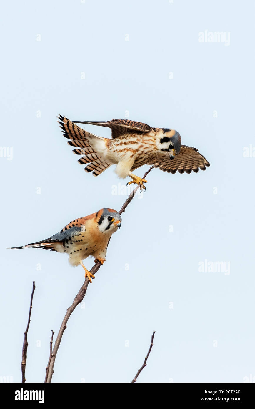 Male and female American kestrels hunting from perch - Stock Image
