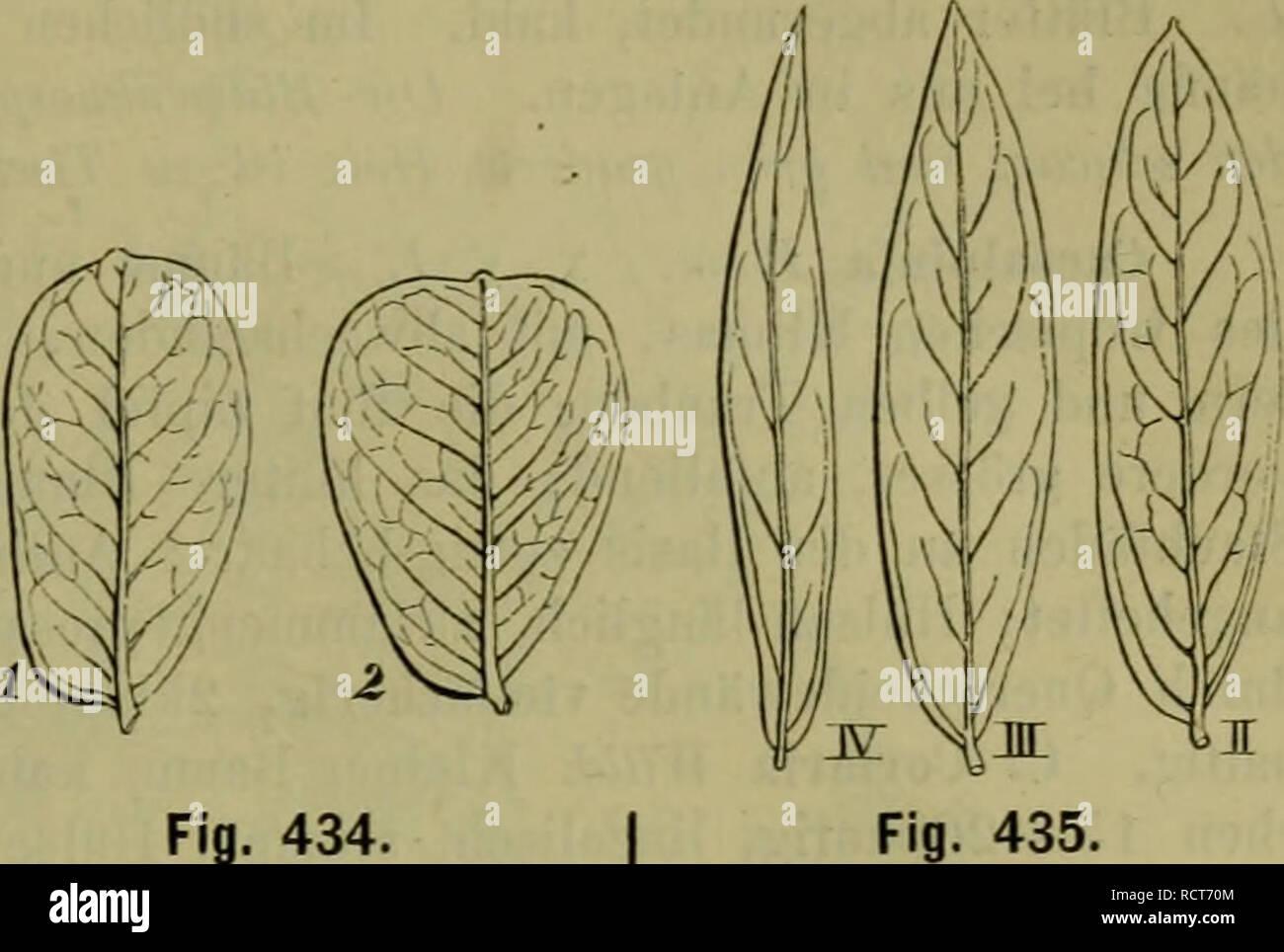 C Lanceolata Stock Photos & C Lanceolata Stock Images - Alamy